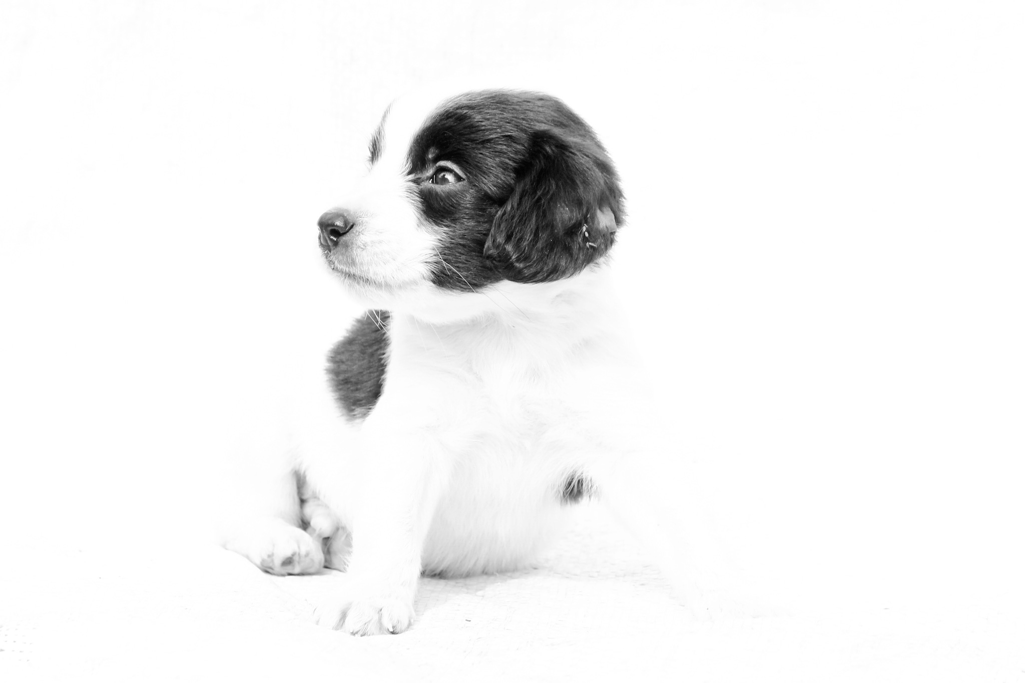 Puppy by susilshah