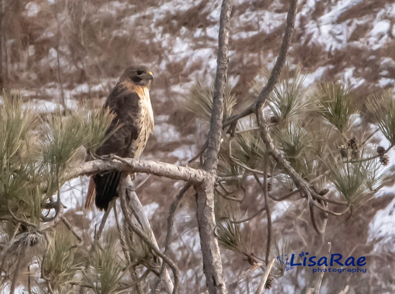 Red tail Hawk by Lisa Rae