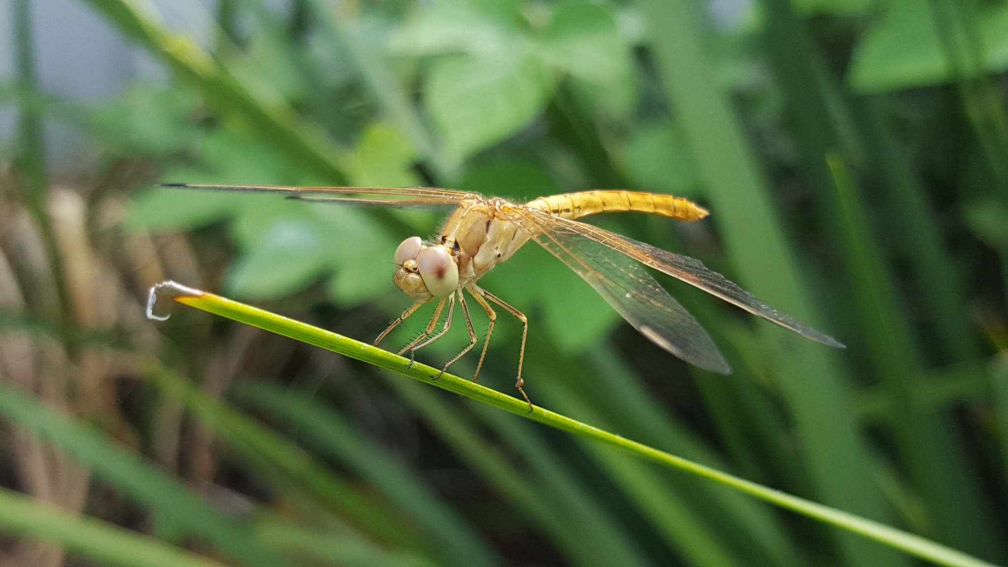 dragonfly  by Amyelle J