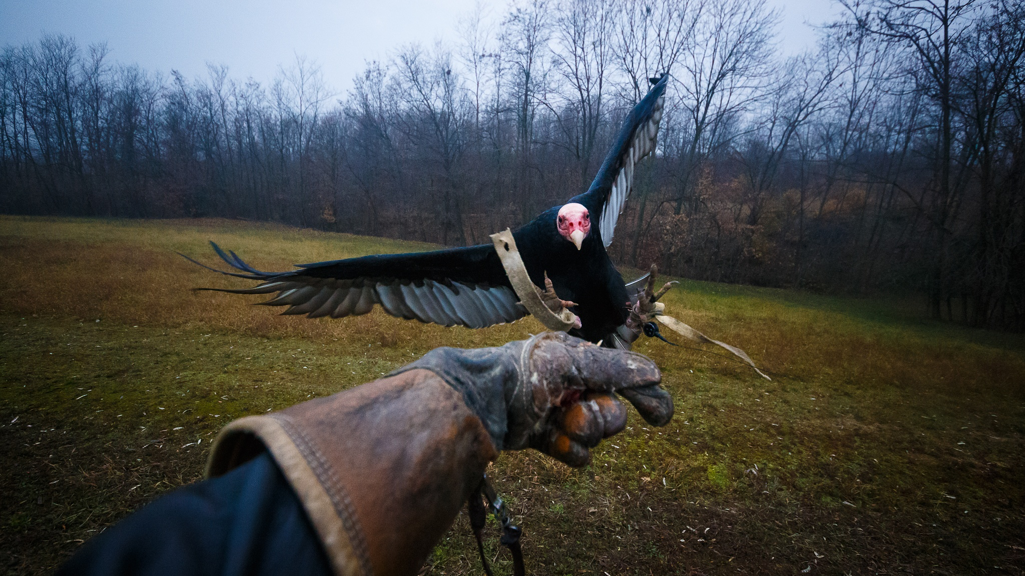 A turkey vulture on my glove by Andrea Martinez