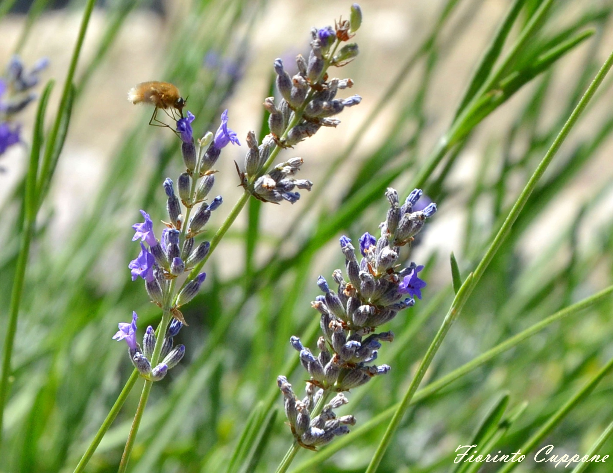 A weird pollinator on lavender by Fiorinto Cuppone
