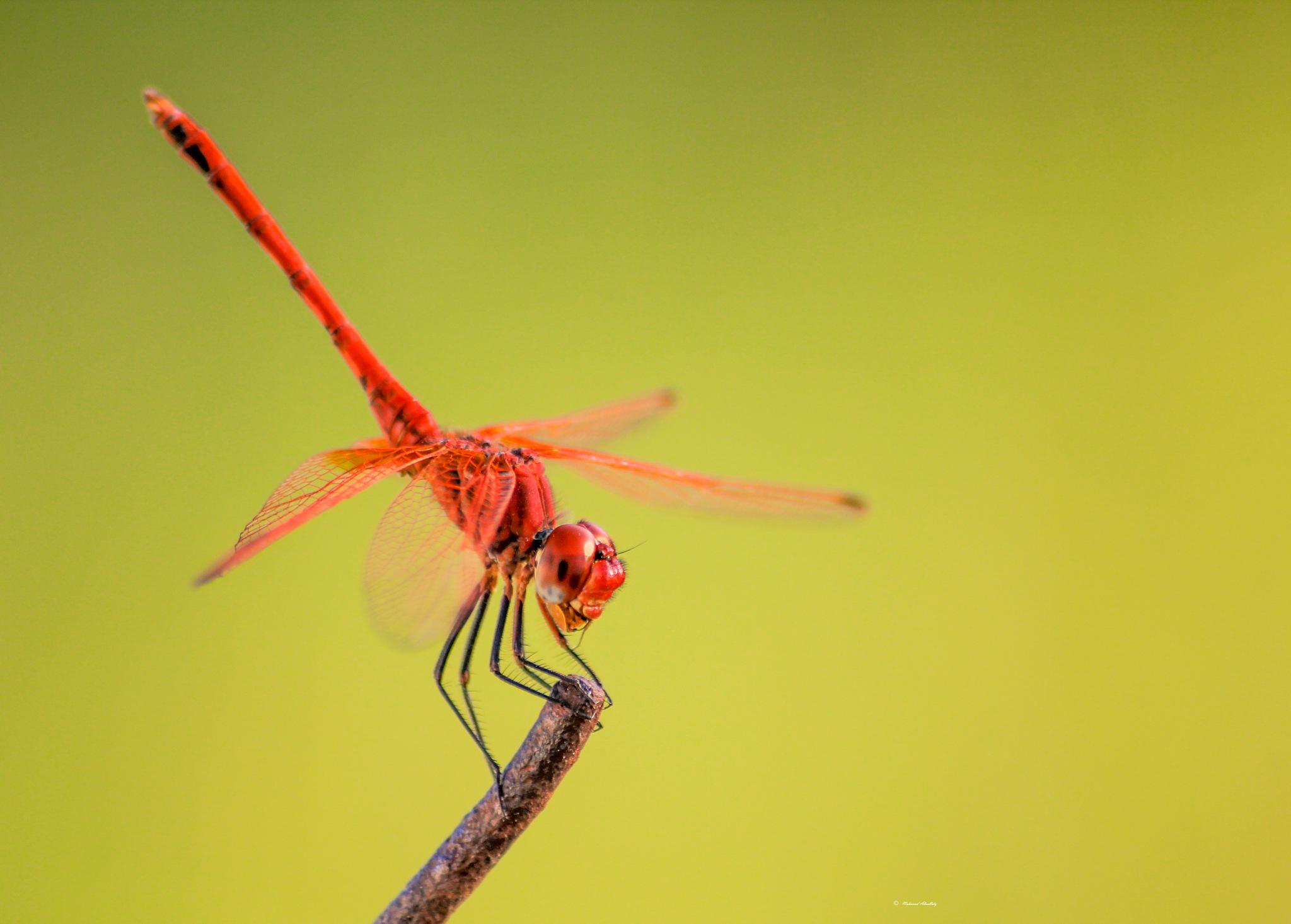 Dragonfly by Mahmuod Almsllaty