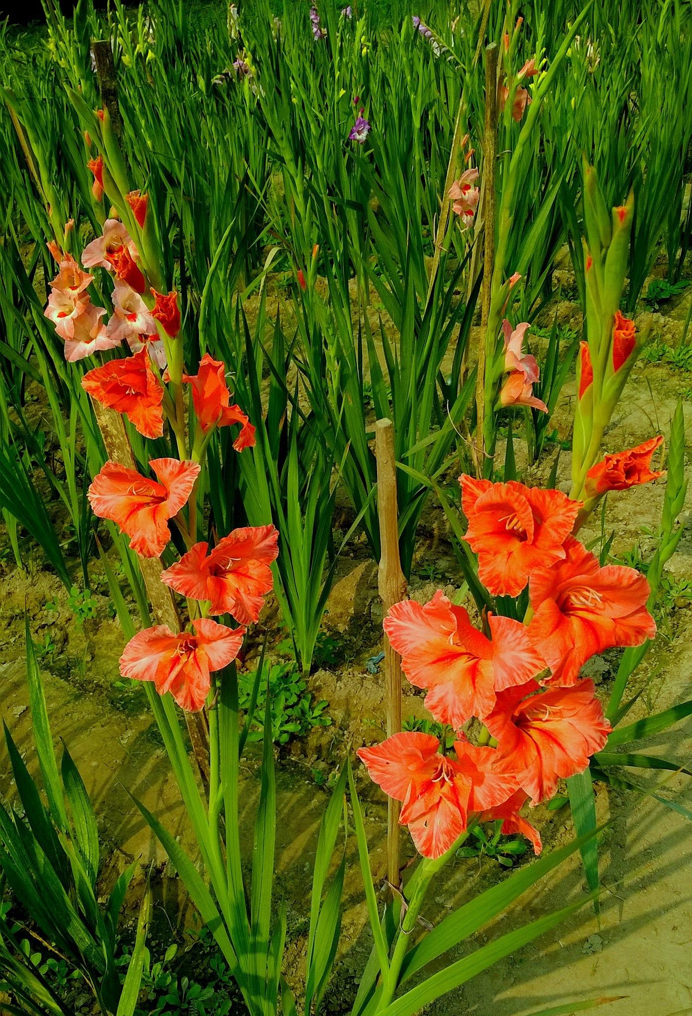 Gladiolus at their roots /4 by Suresh Tewari