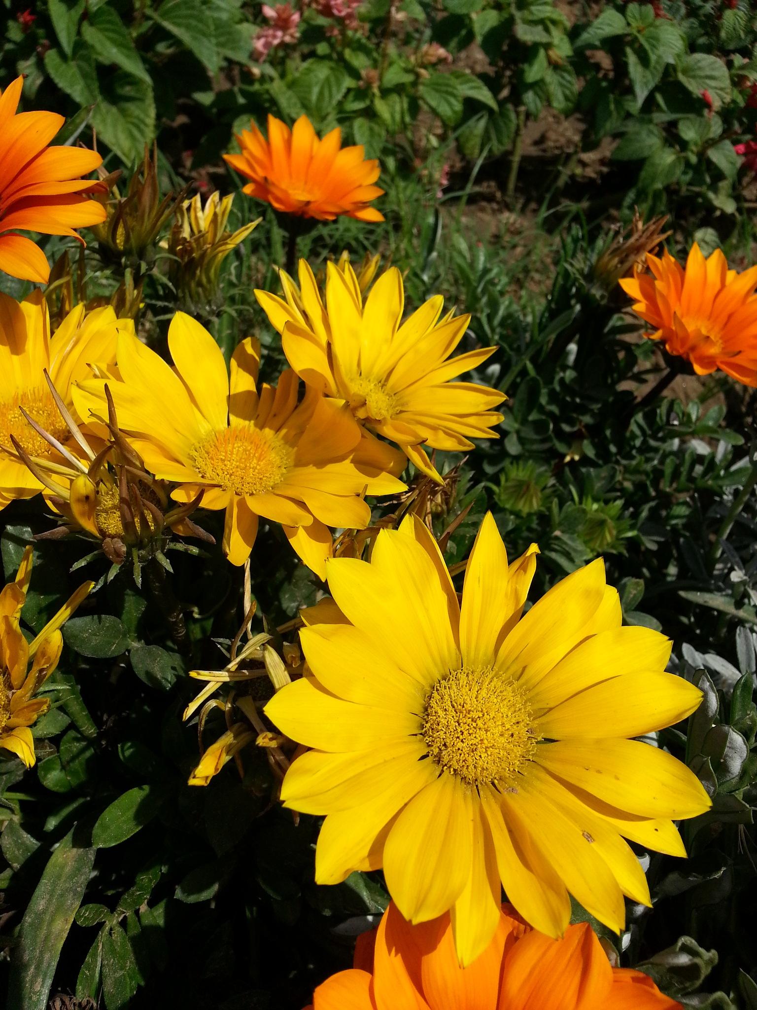 Flowers in bright sunlight 16 by Suresh Tewari
