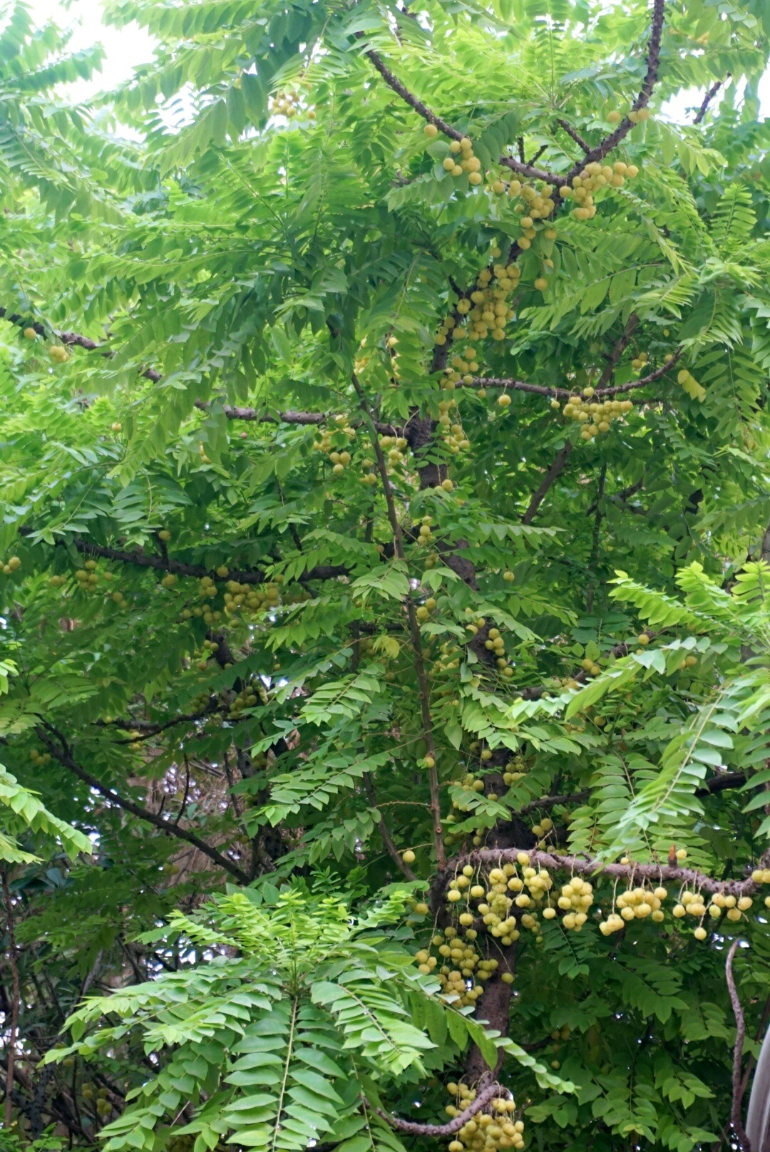 Fruit full /4 by Suresh Tewari