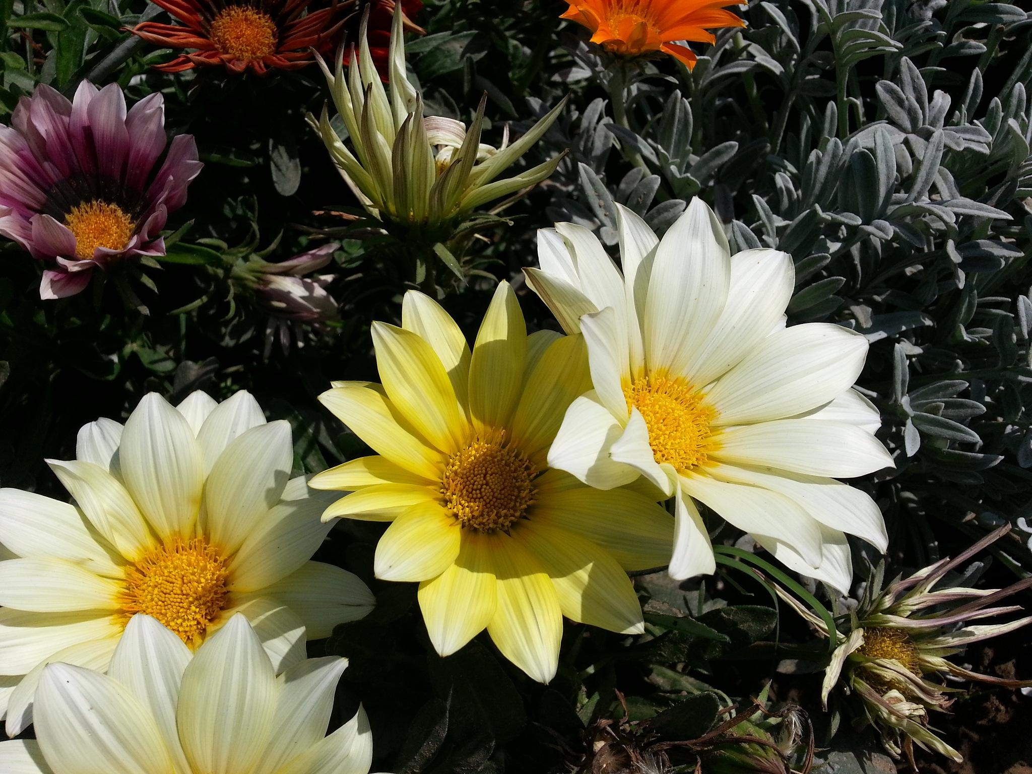 Flowers in bright sunlight 04 by Suresh Tewari