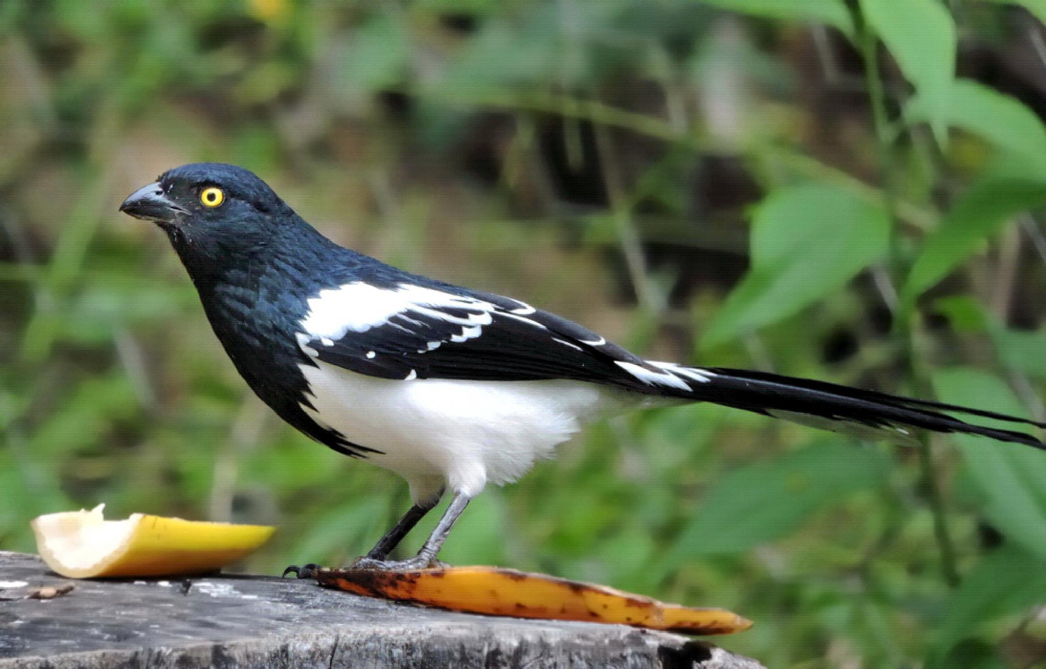 Photo in Nature #cissopis levarianus #magpie tanager #tietinga #wildlife #brazil #santa maria de itabira #fazenda do funil