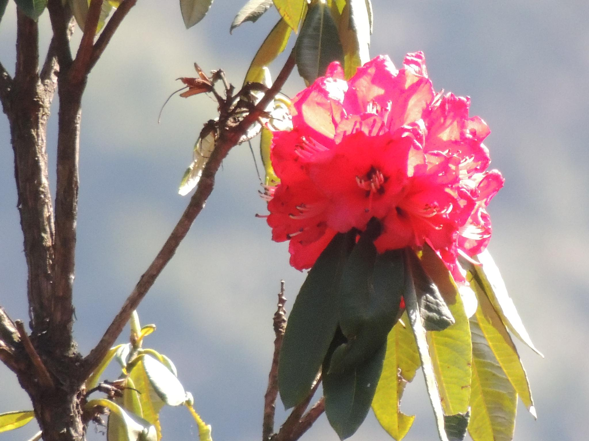 Rhododendron by Sujan Shrestha