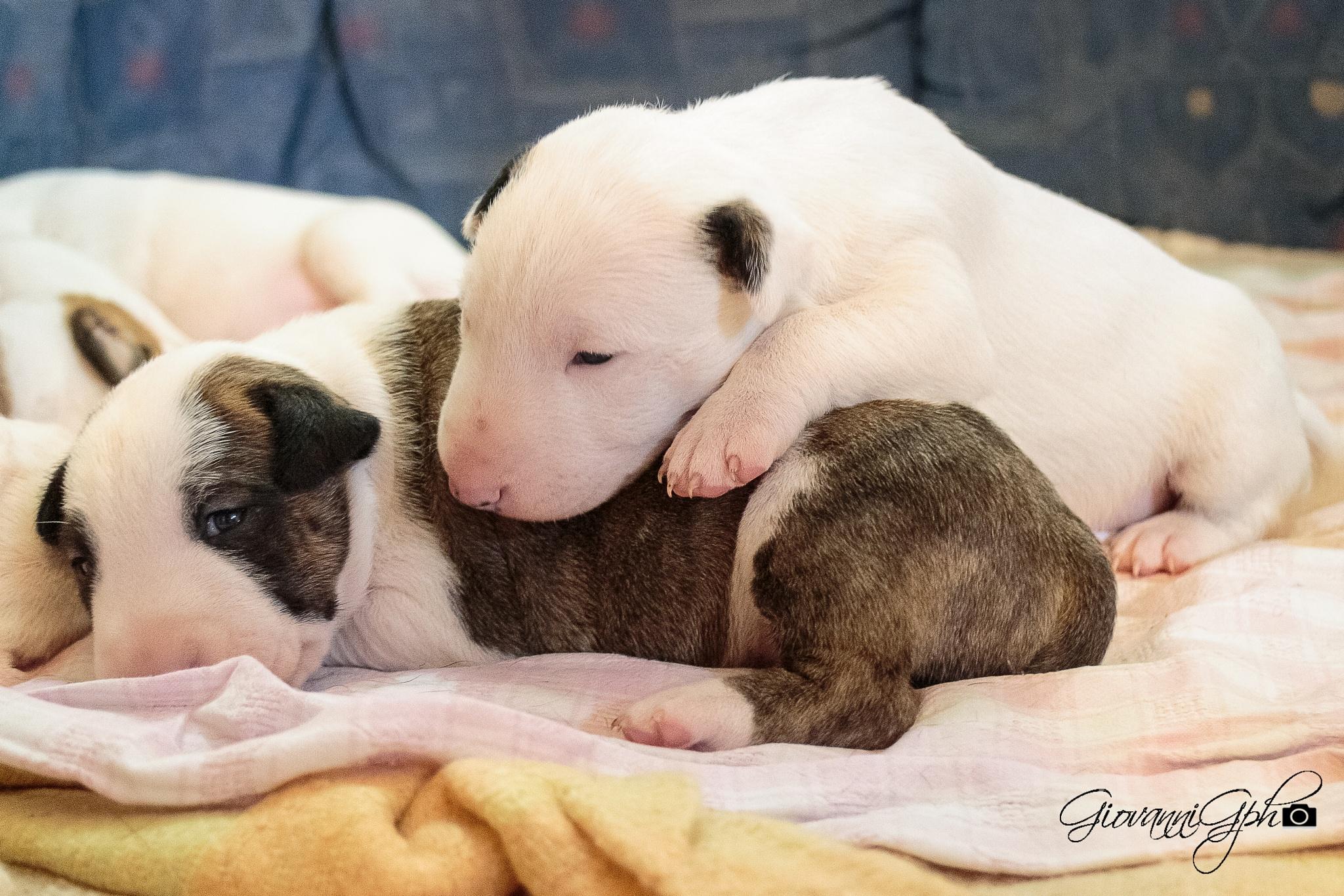 bull terrier love by giovannigphotos