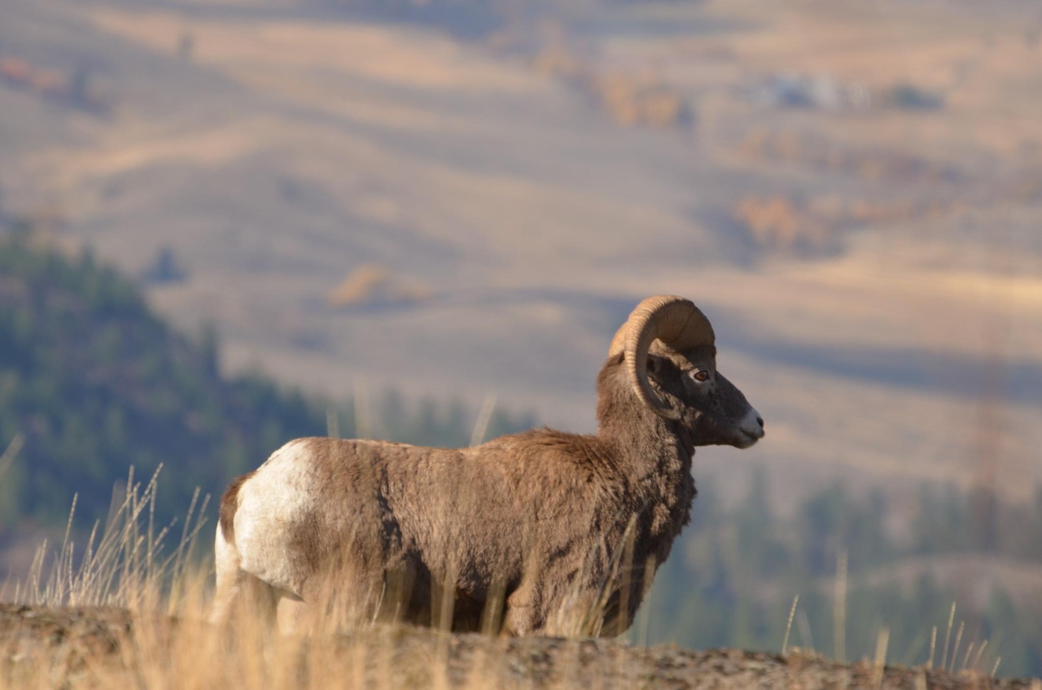 Surprise Sheep by BrianStothard
