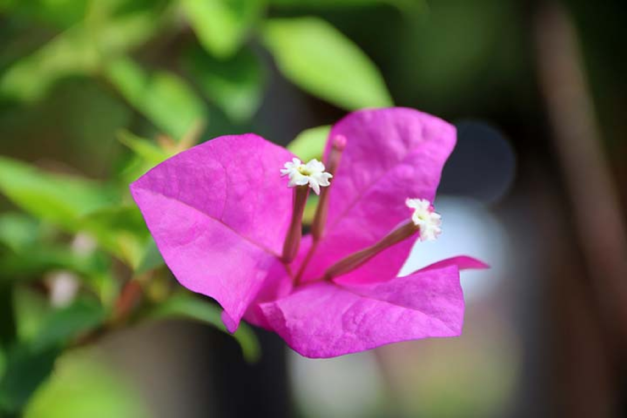 bunga kembang kertas by I Ketut Sukiana