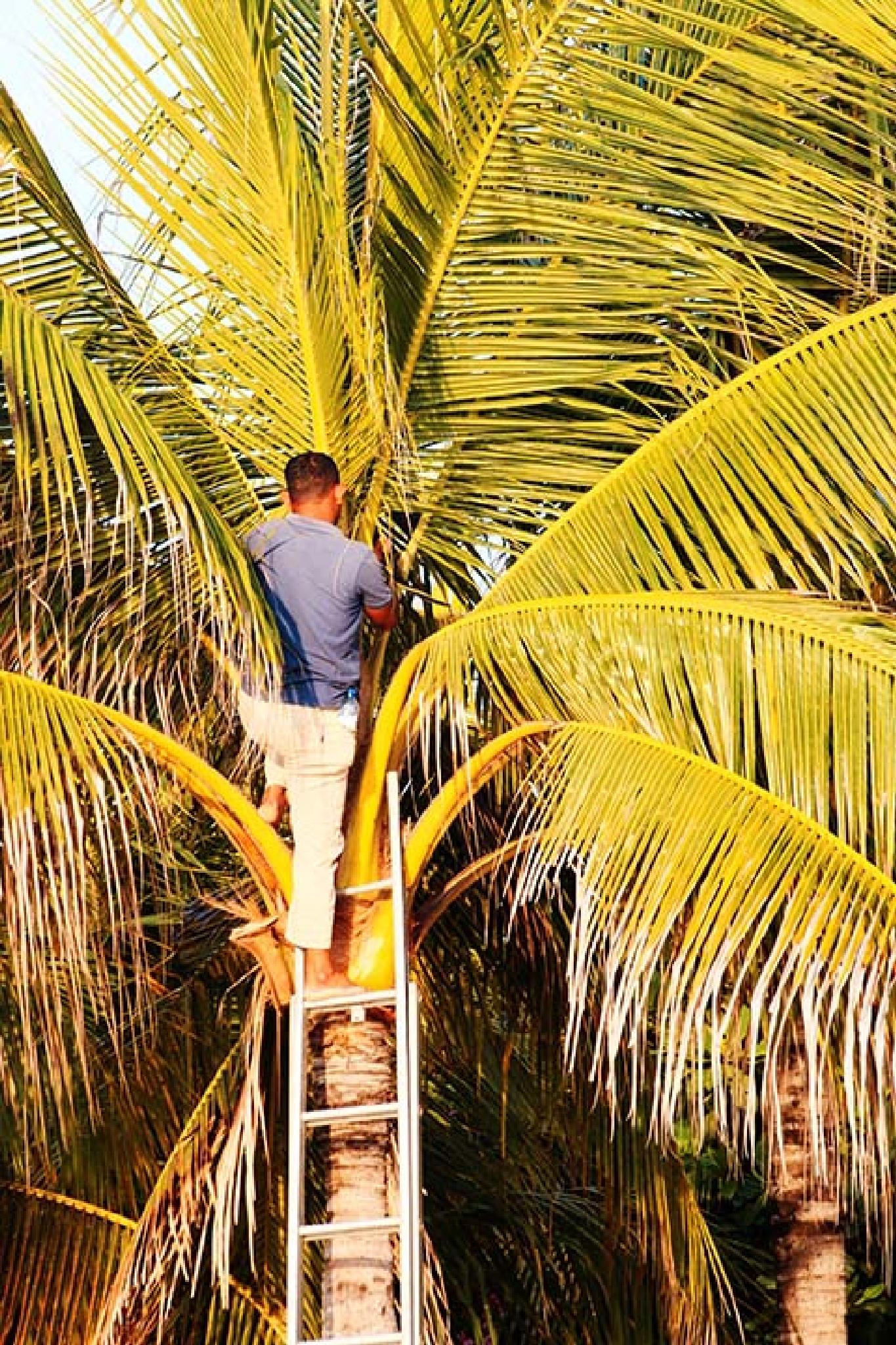 Membersihkan Pohon Kelapa by I Ketut Sukiana
