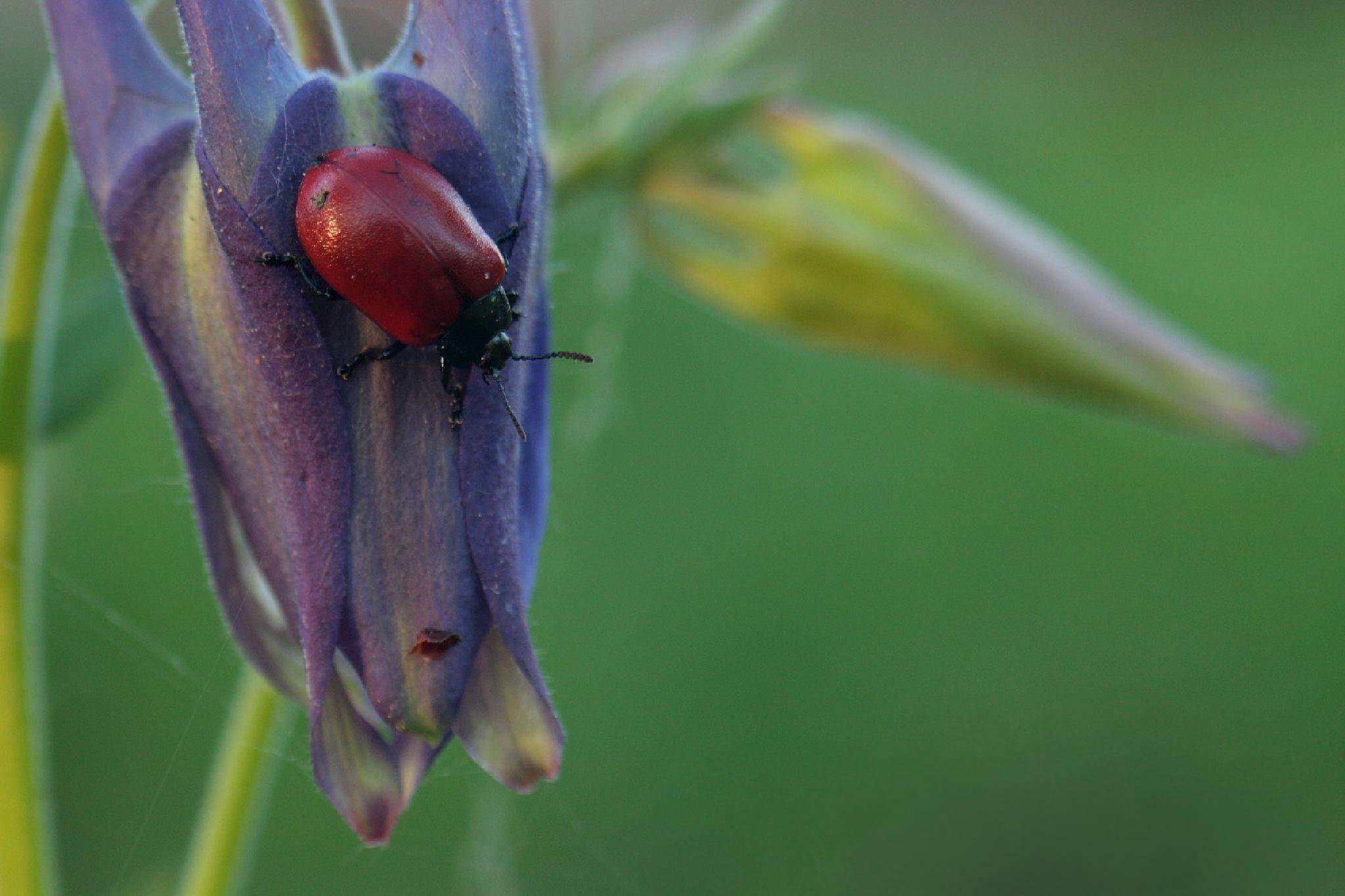 red beetle by Alexey Komarov