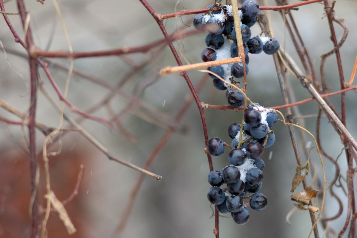 frozen grape  by Alexey Komarov
