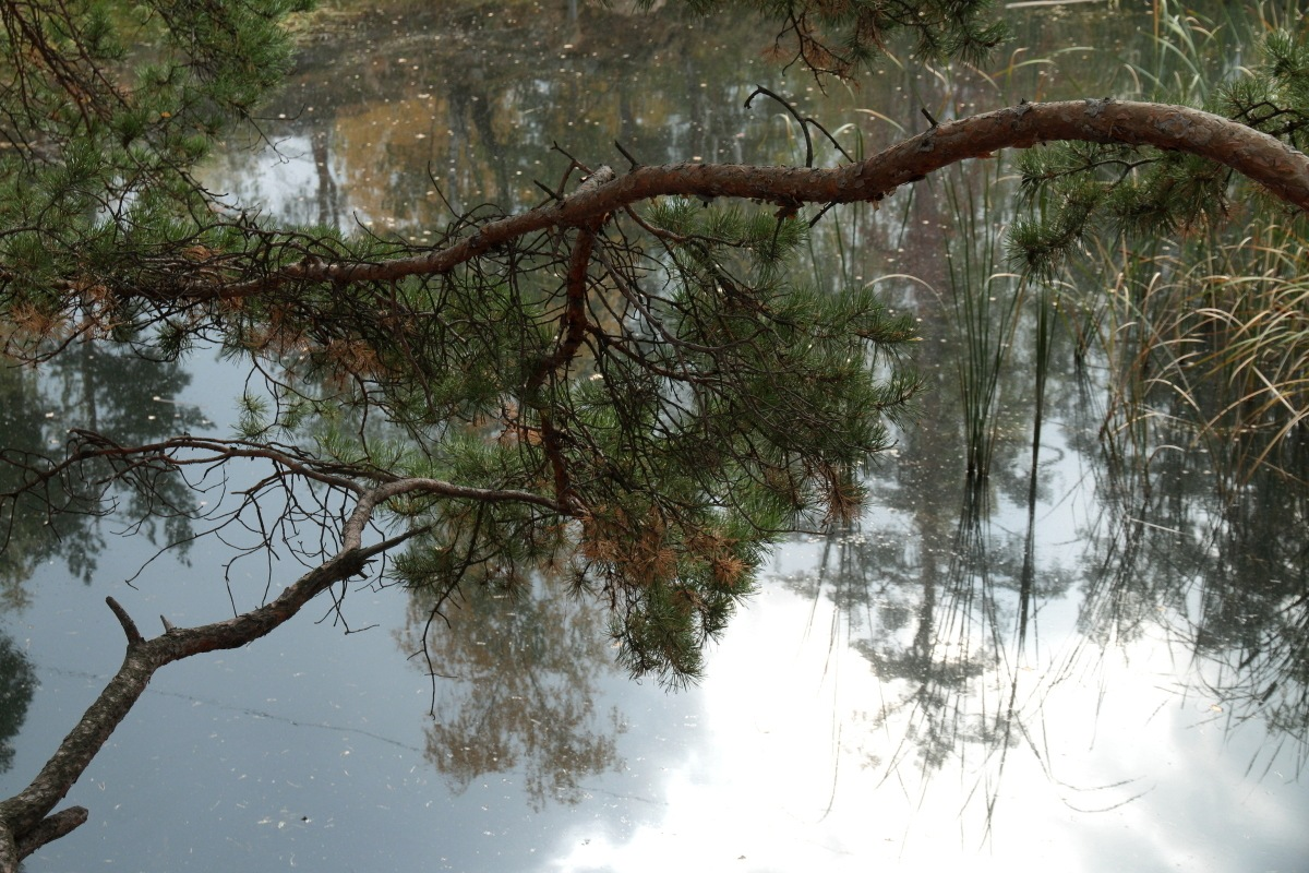 pine over a water by Alexey Komarov