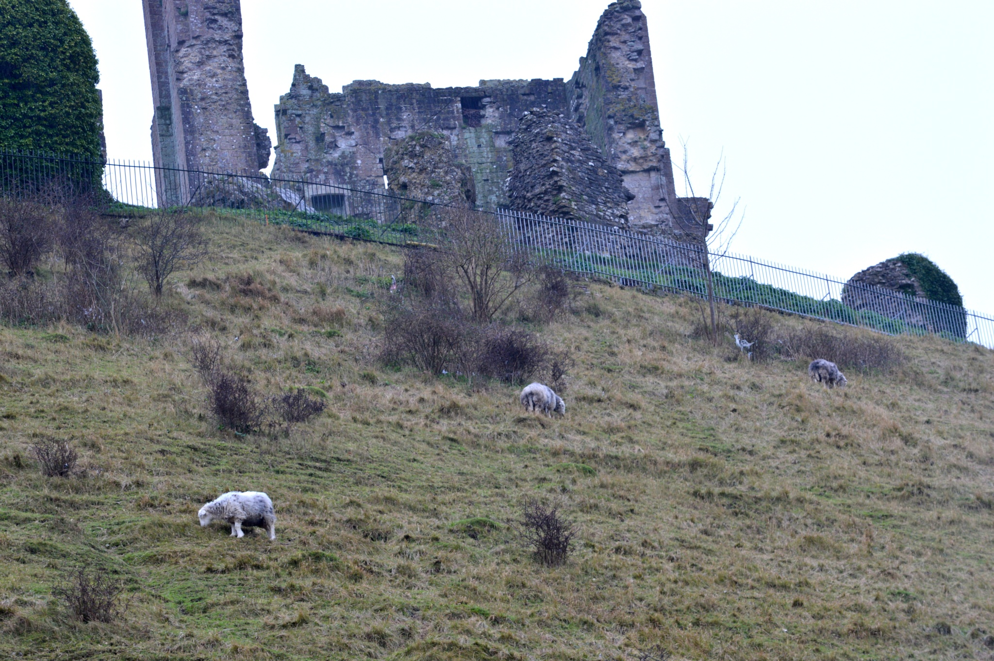 sheep and castle by peter fooks
