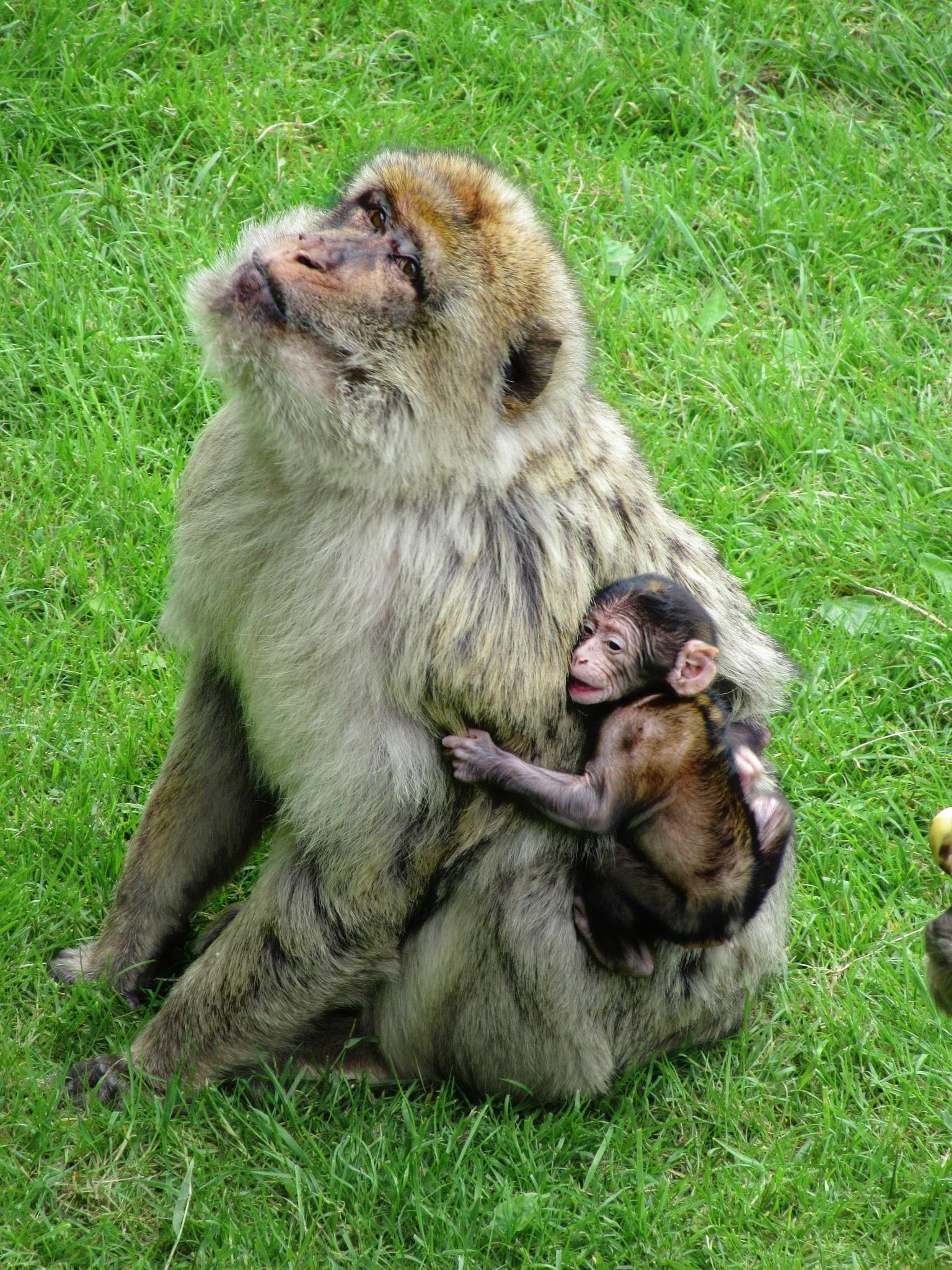 (new) Baby Monkey in Zoo . .  by Korinna J.