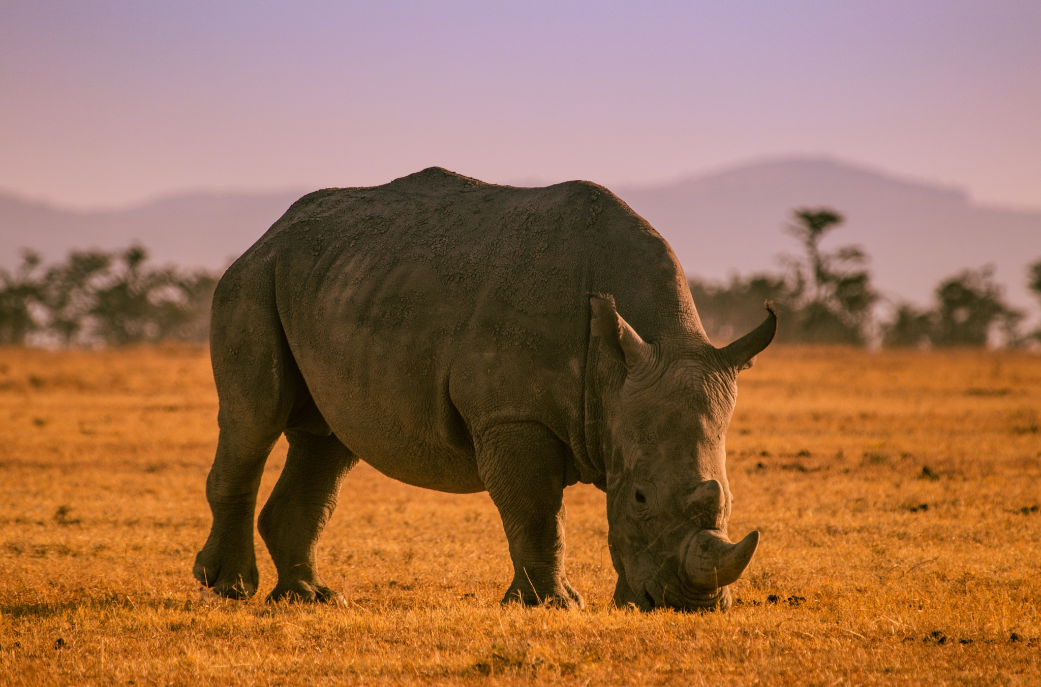 A rhino in the morning sun. by Yegor & Tanya