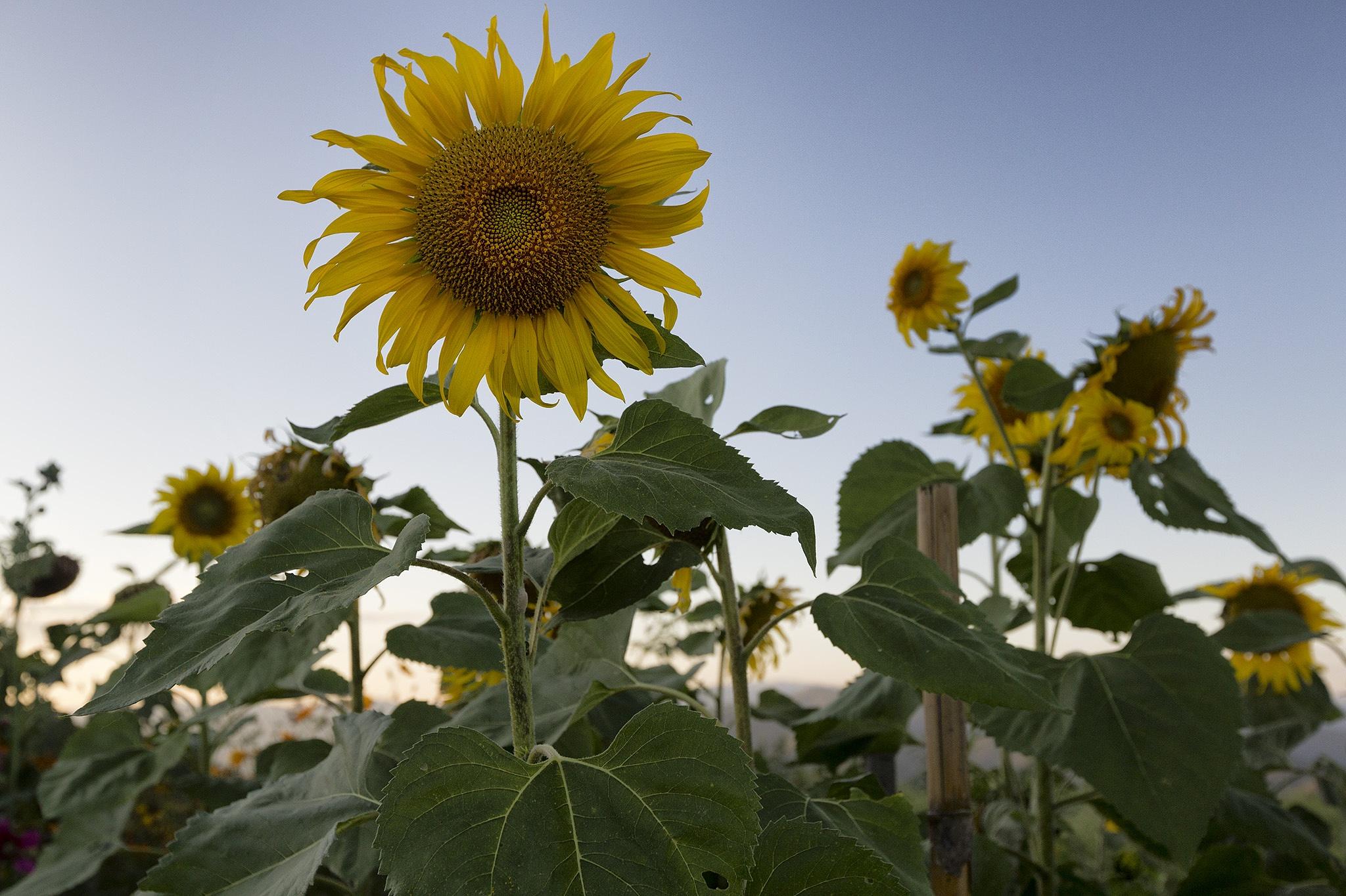 Sunflowers by Faroe Islands Hiking