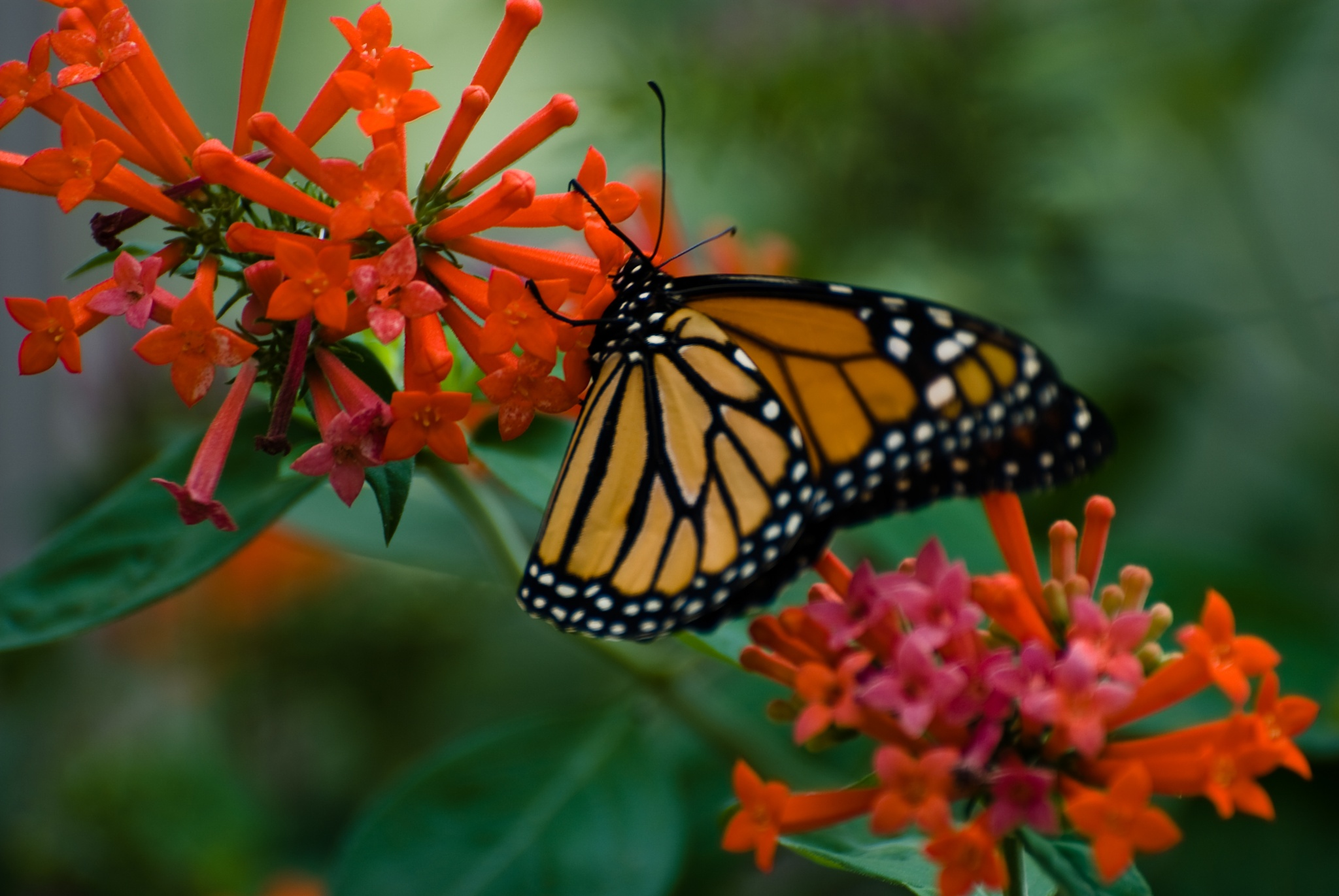 butterfly by tourguide