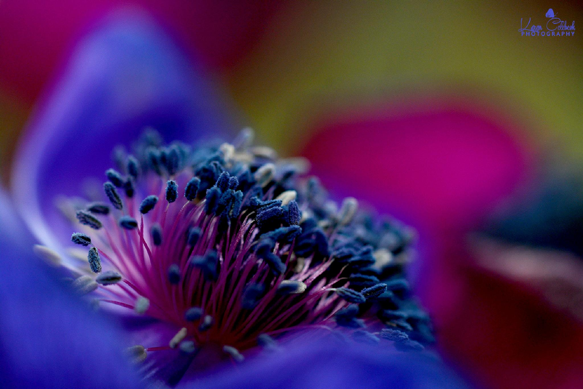 Anemone I by karencolebeckphotography