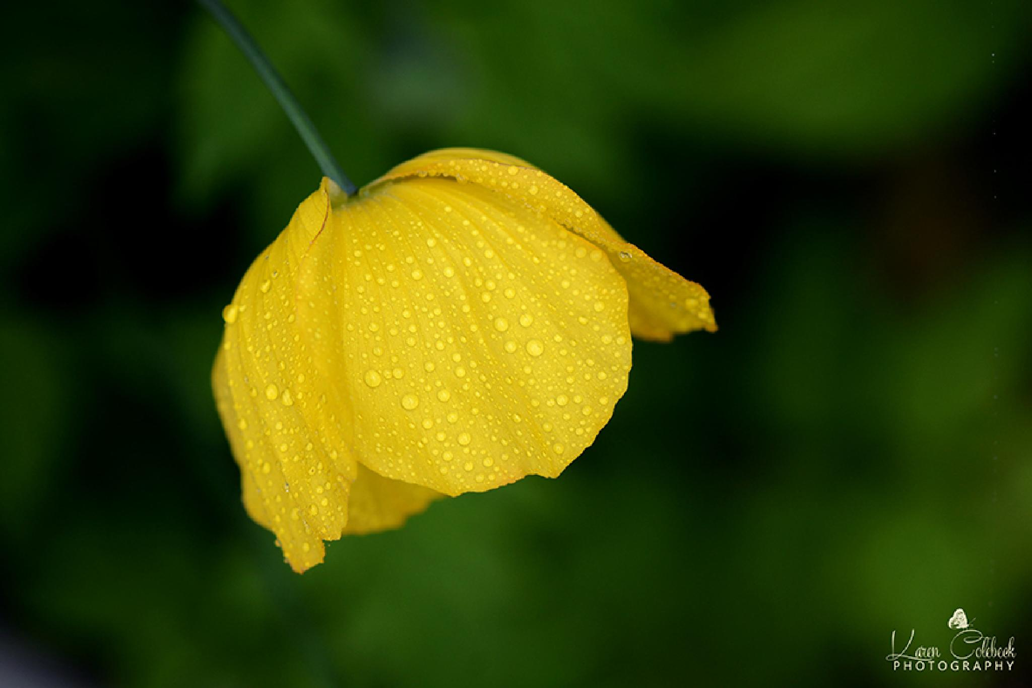 Yellow Poppy by karencolebeckphotography