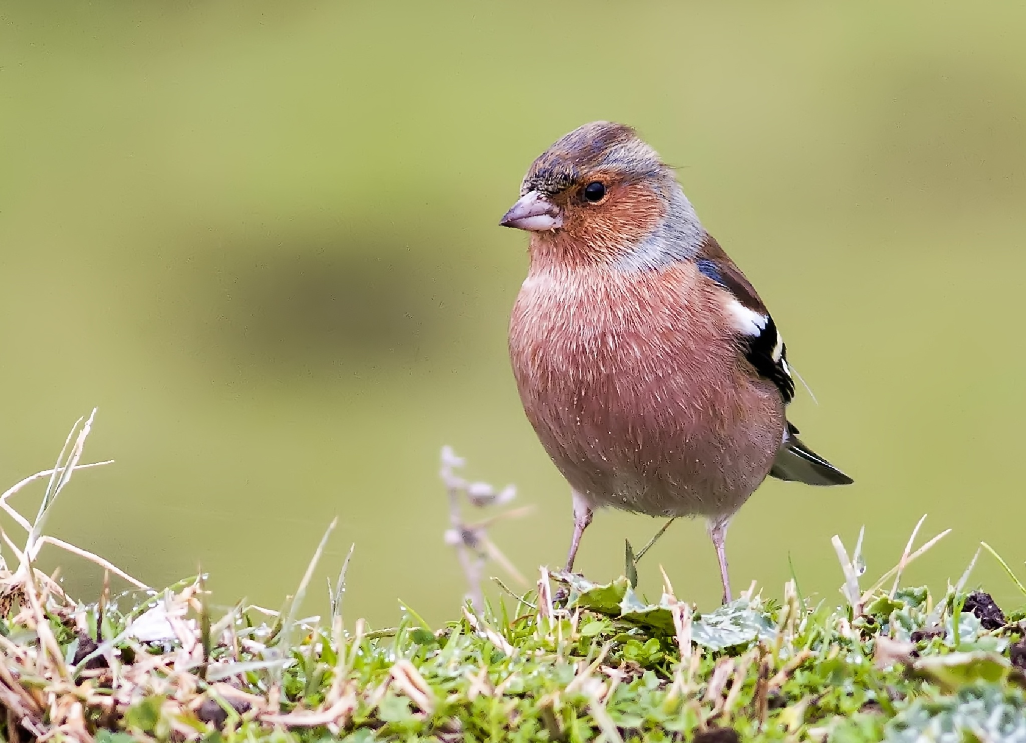 İspinoz -  Common Chaffinch - Fringilla coelebs by SOGUKPINAR
