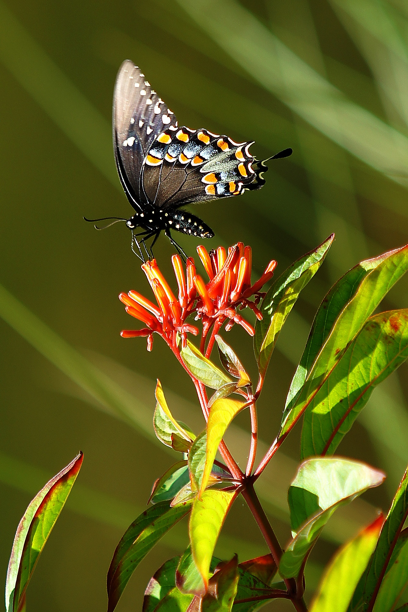 Photo in Nature #spicebush swallowtail #firebush #papilio troilus #hamelia patens var. patens #butterfly #nature #outdoor