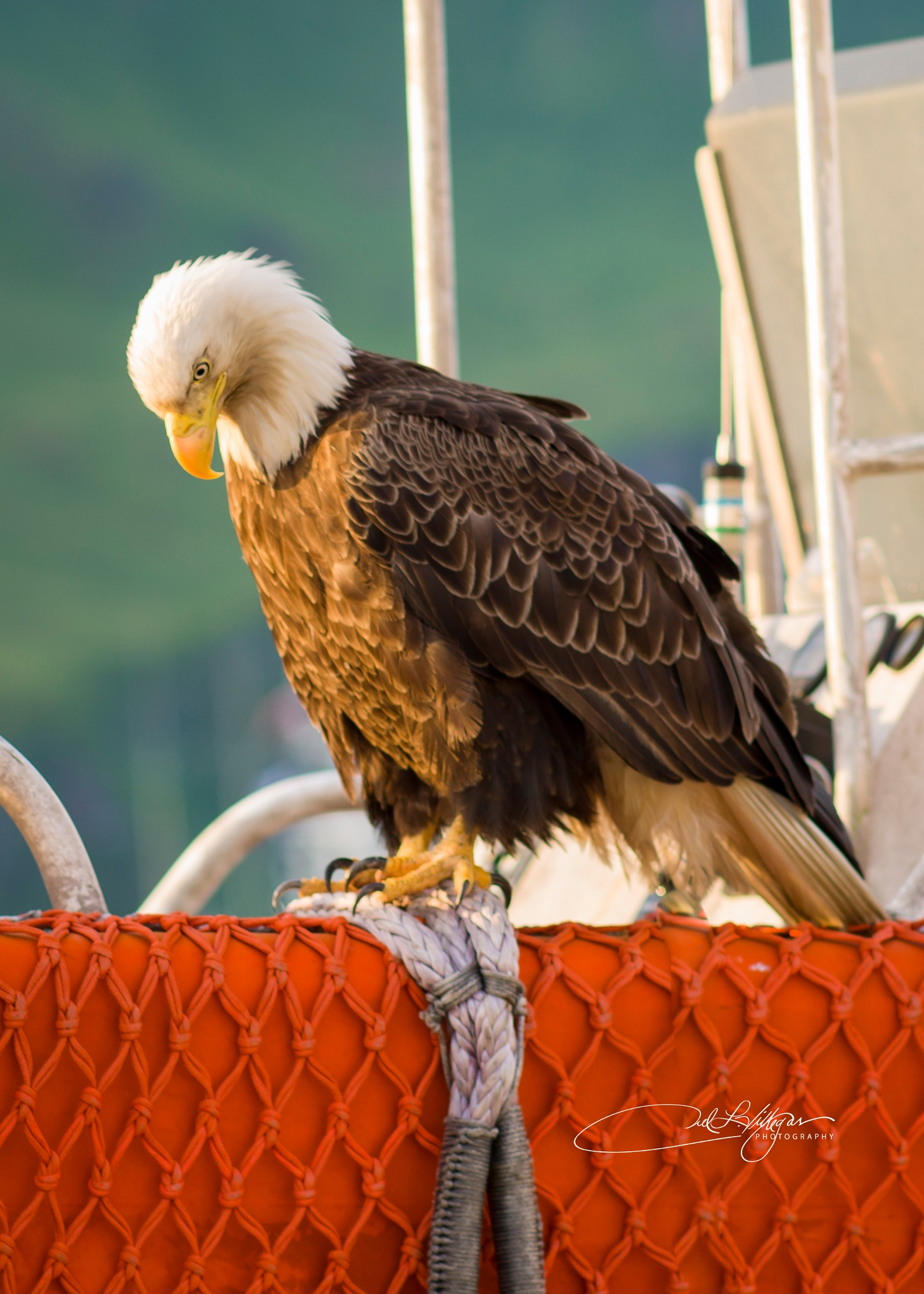 Bald Eagle of Dutch Harbor by Joel Villegas