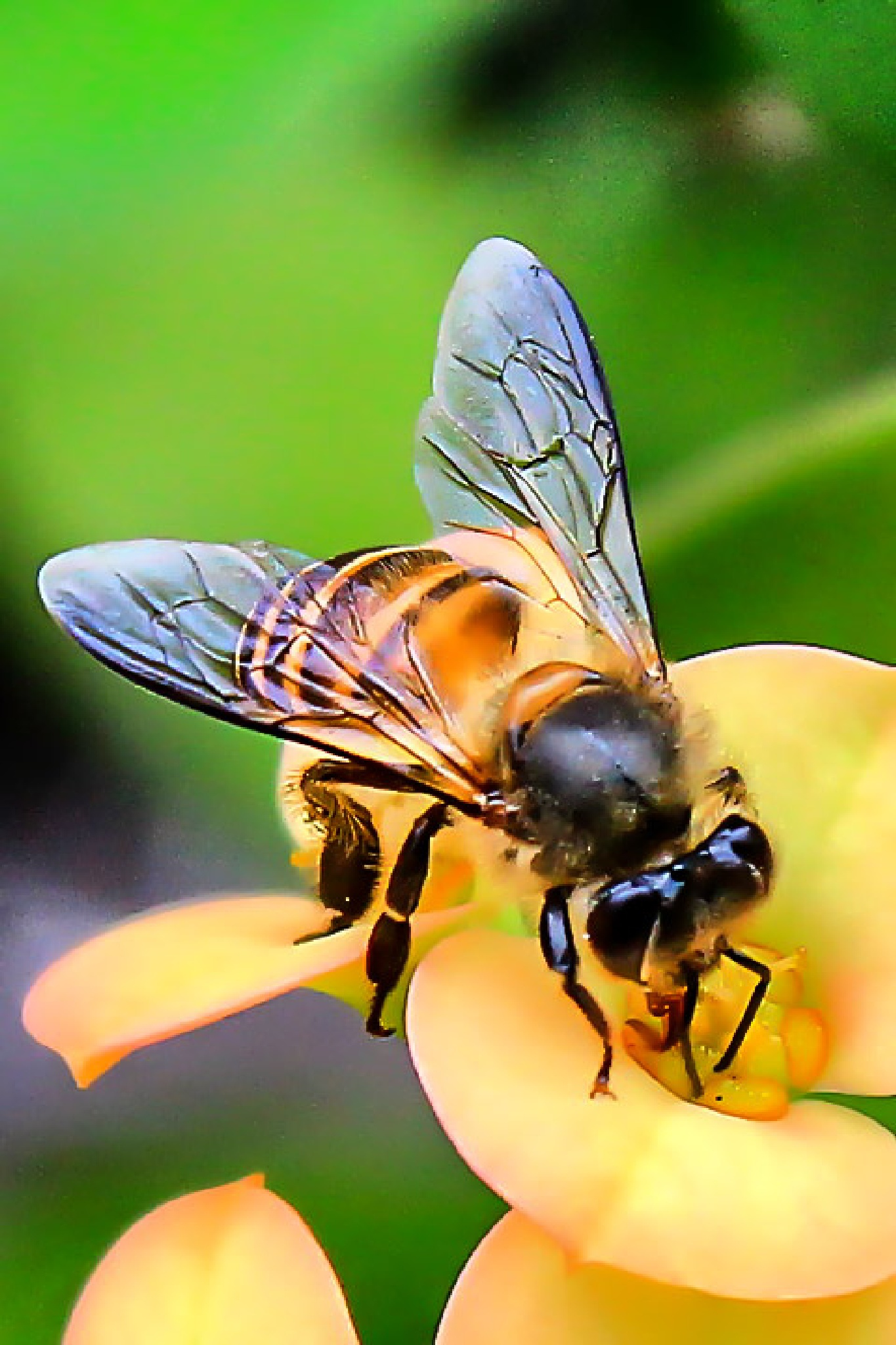 Honey Bee by DEka Parartha Pinatih