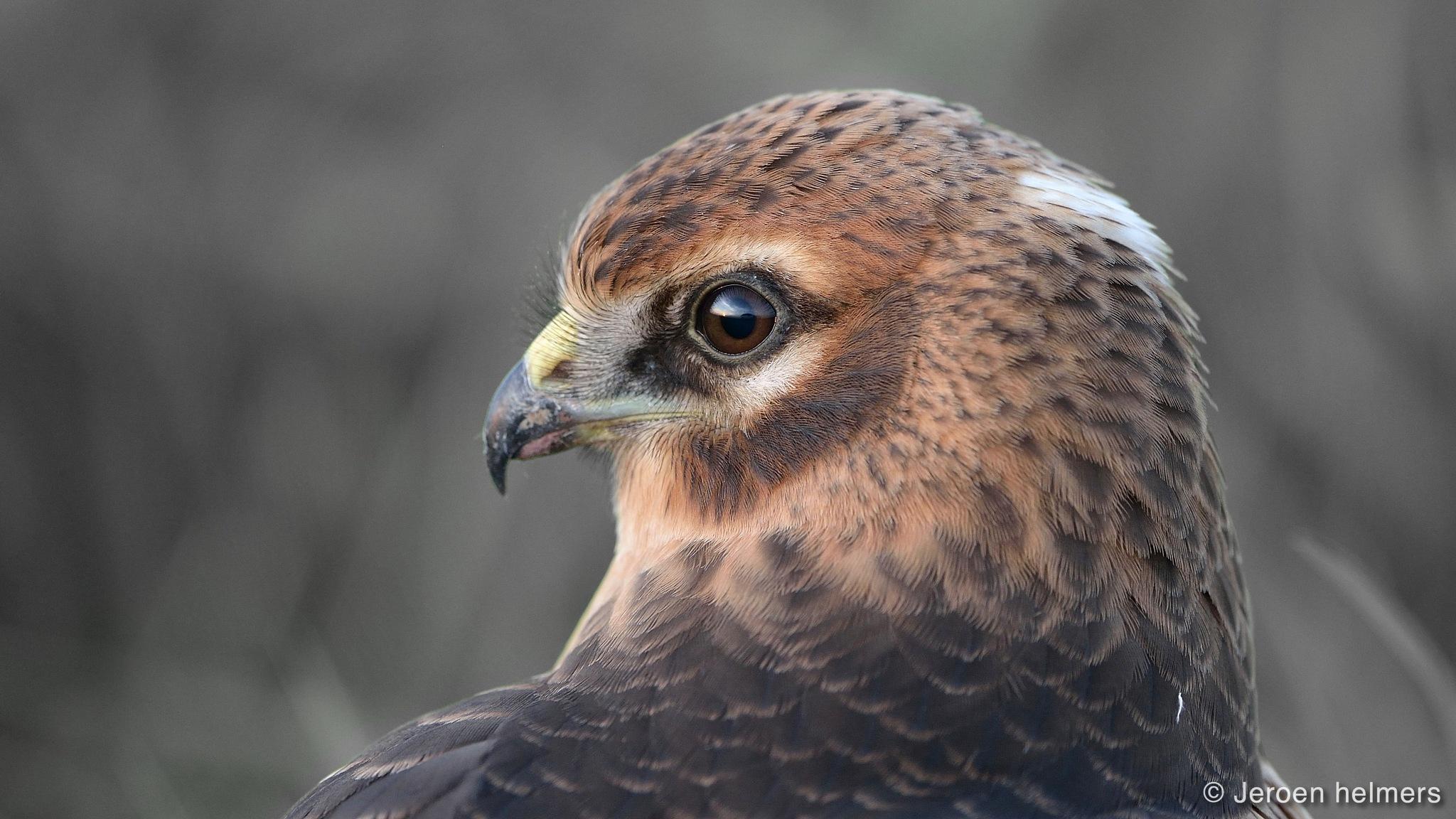 Montagu's Harrier, Circus pygargus, Grauwe Kiekendief by Jeroen Helmers