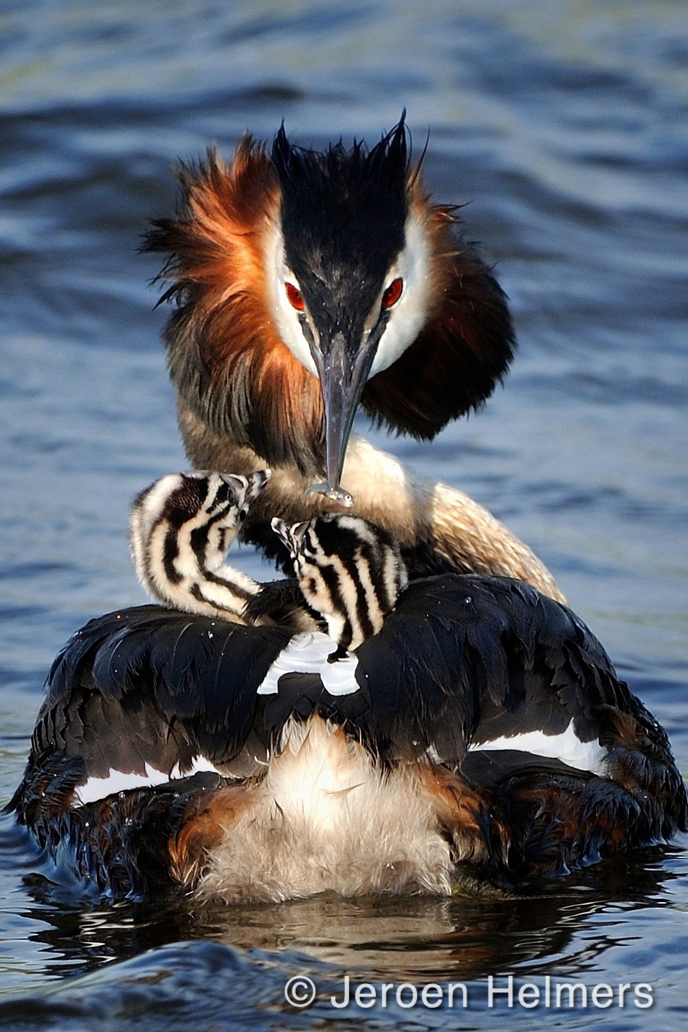 Great Crested Grebe, Podiceps Cristatus, Fuut by Jeroen Helmers
