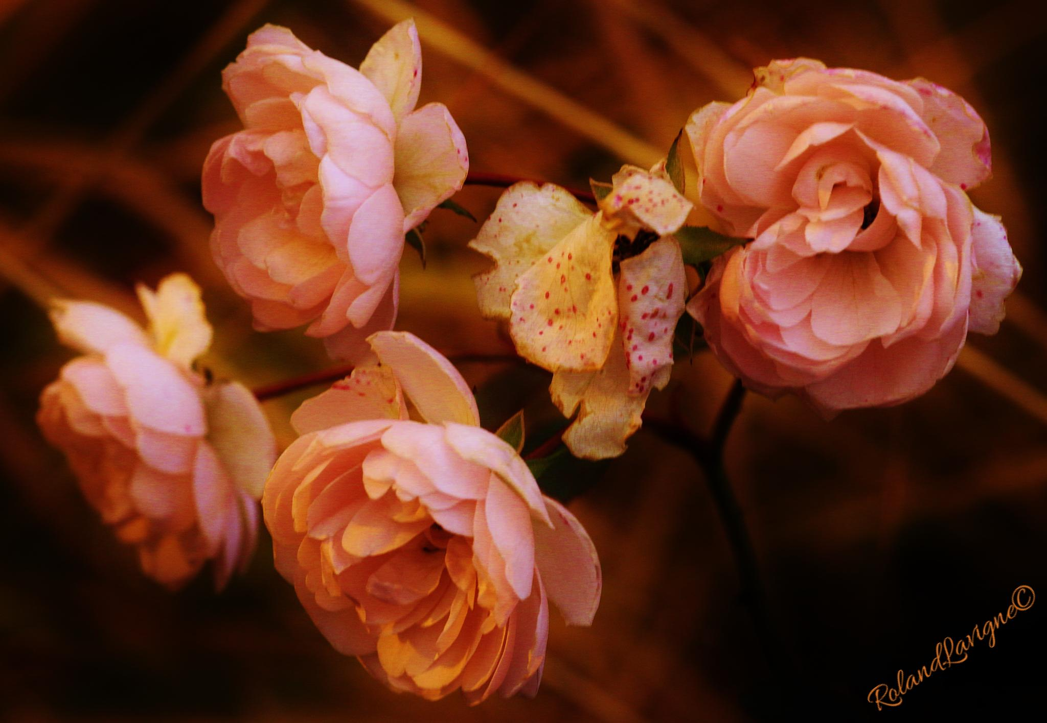 DyingPetals.. by Roland Lavigne
