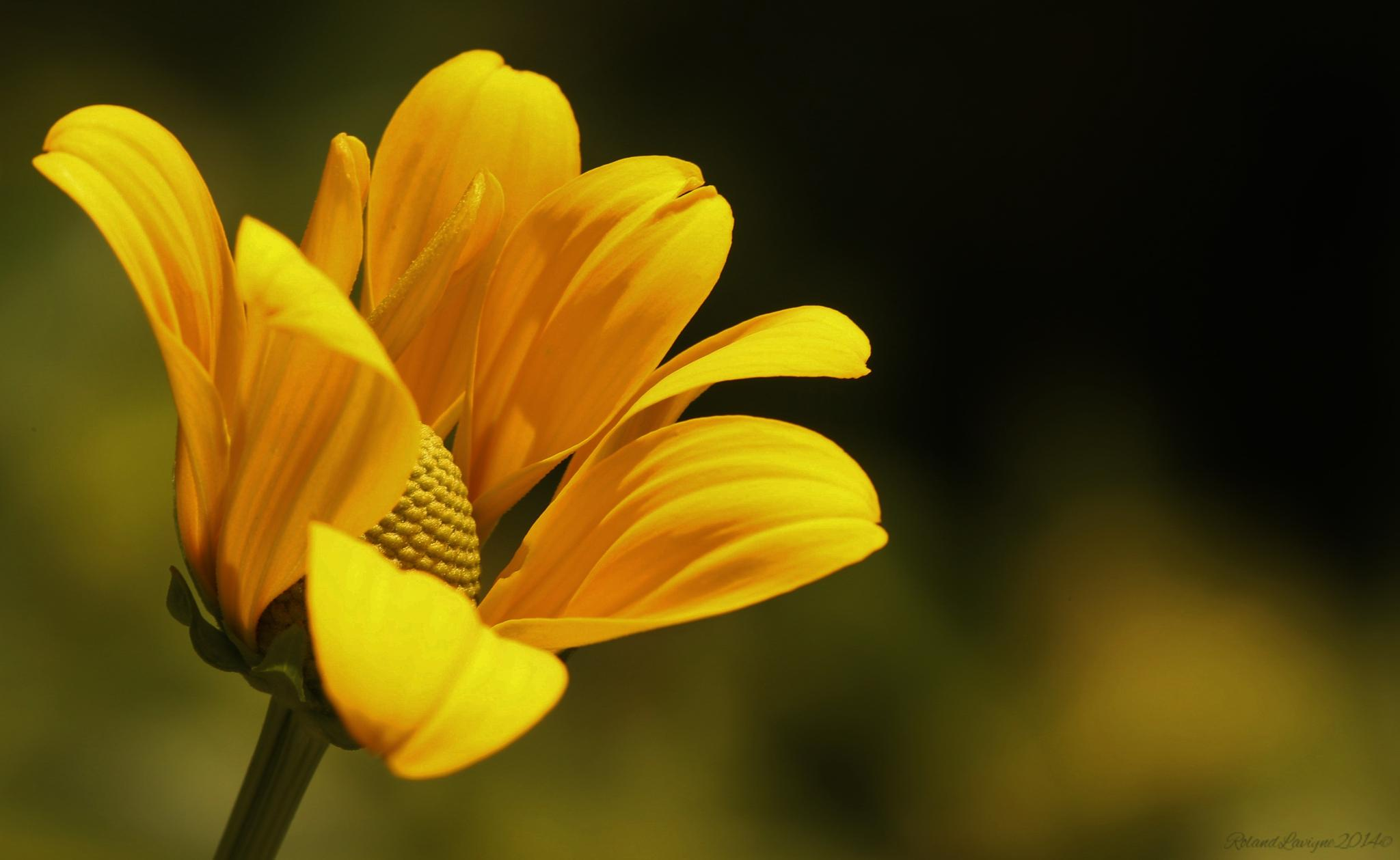 Yellow.. by Roland Lavigne