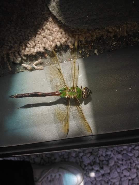 dragonfly  by Dawn Smith
