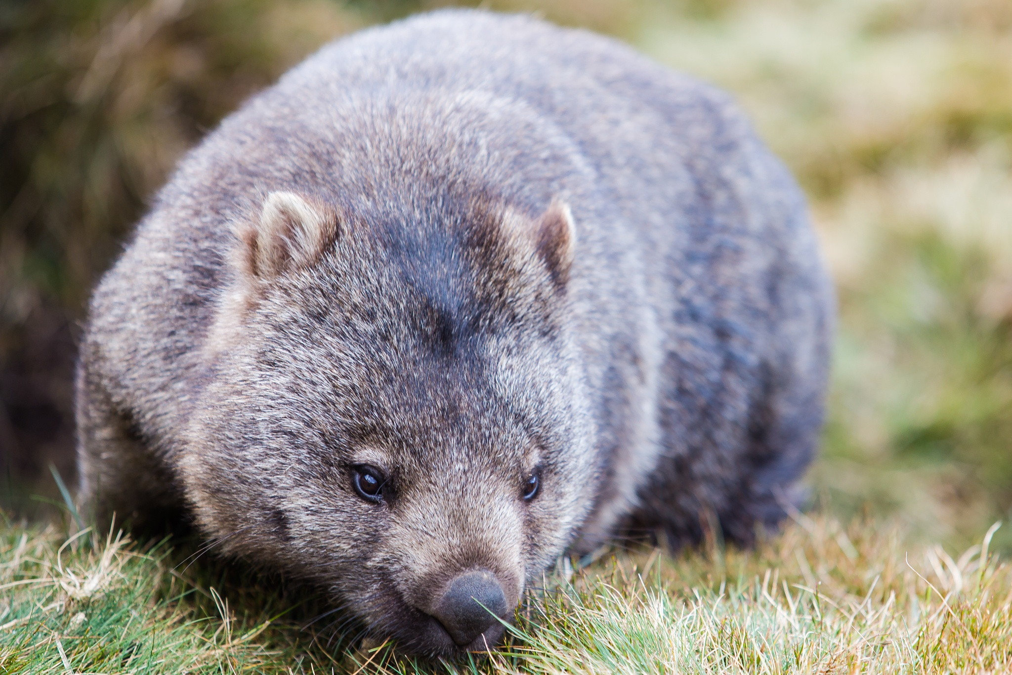 Cradle Mountain wombat by CamHadlowPhotography