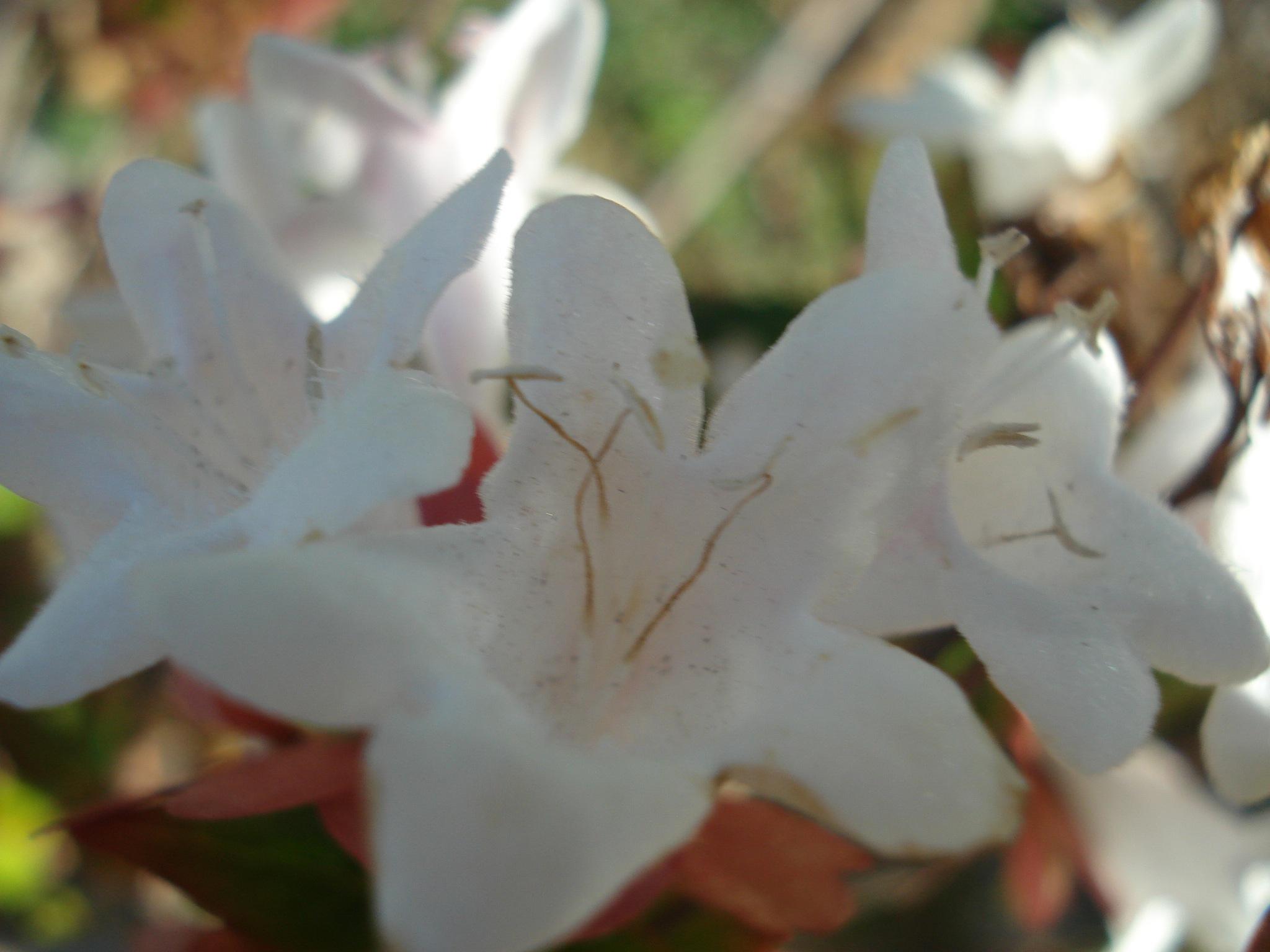 3 - 17/3/18 .. 72-73 .. WATERMARKED FLOWERS .. by GÜVEN YENERSOY