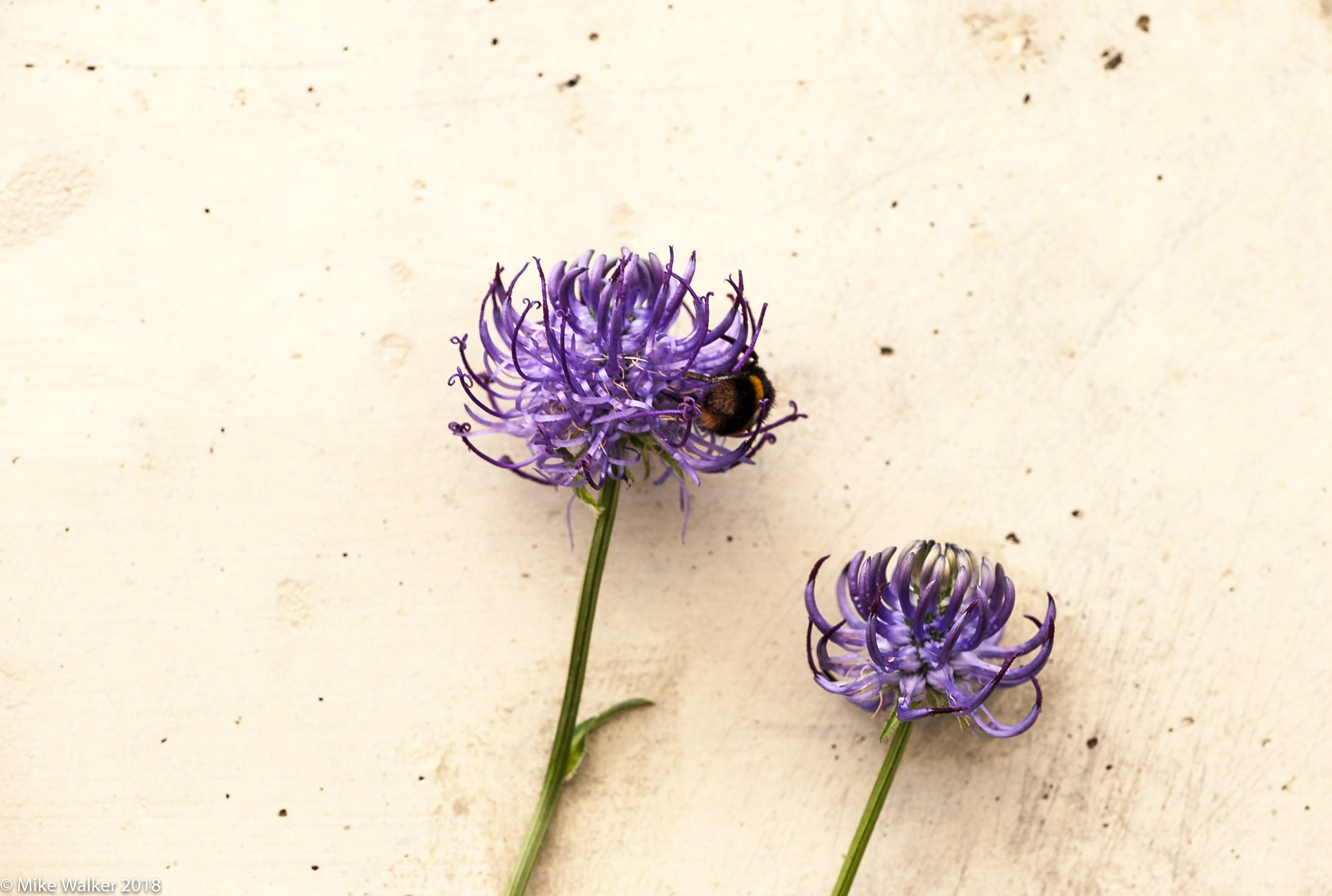 Alium and Bee by Mike Walker