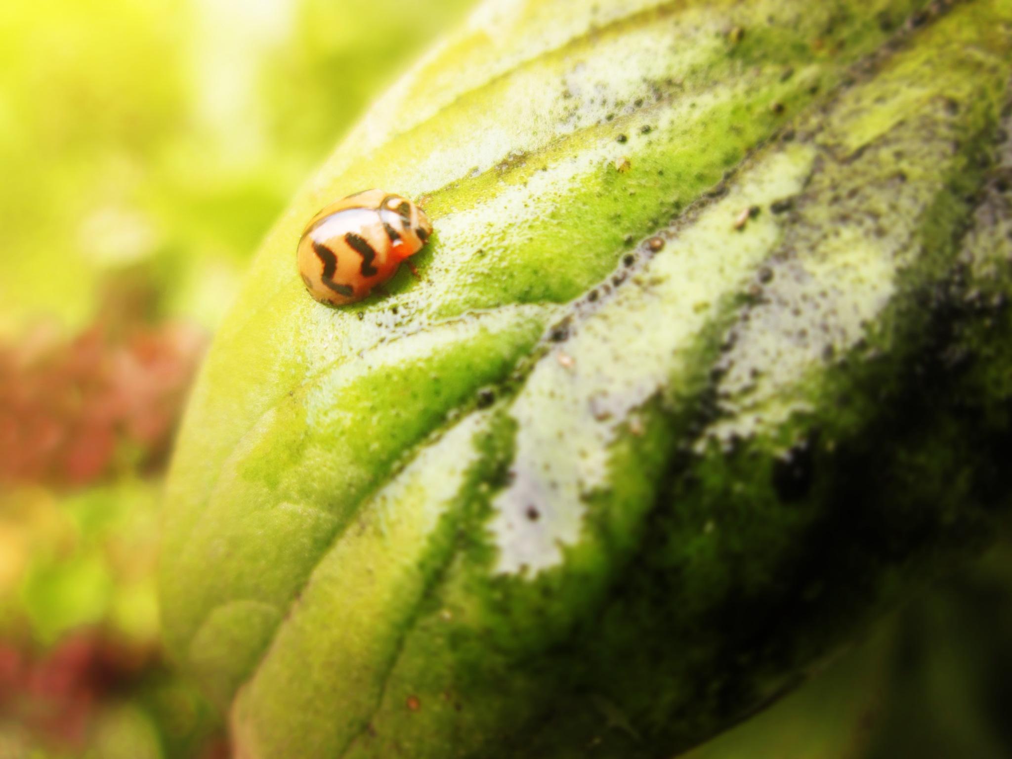 yellow ladybug  by Mhassan Photography MH