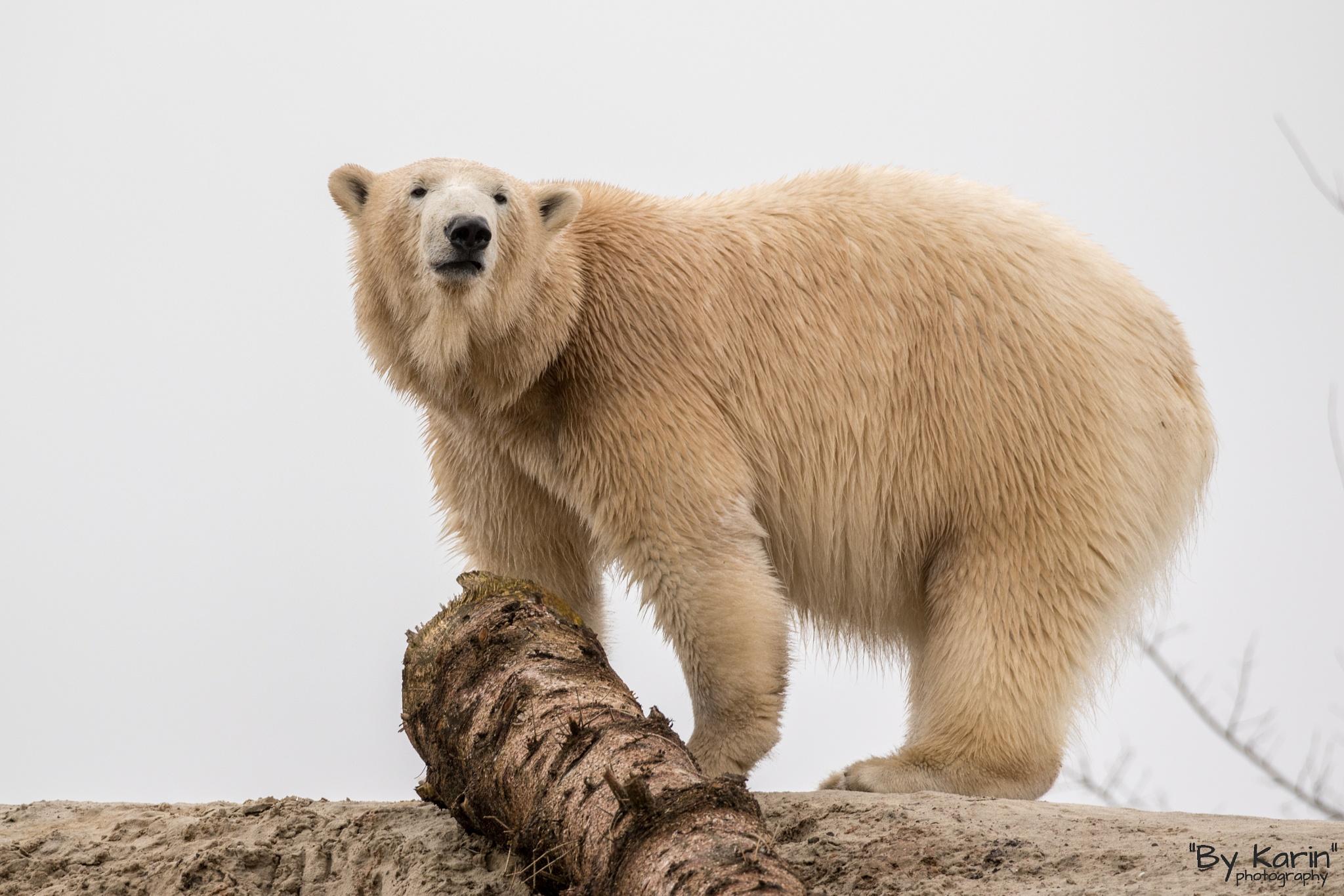 Photo in Animal #polar bear #ijsbeer #animal #female #mammal #wildlands #zoo #emmen
