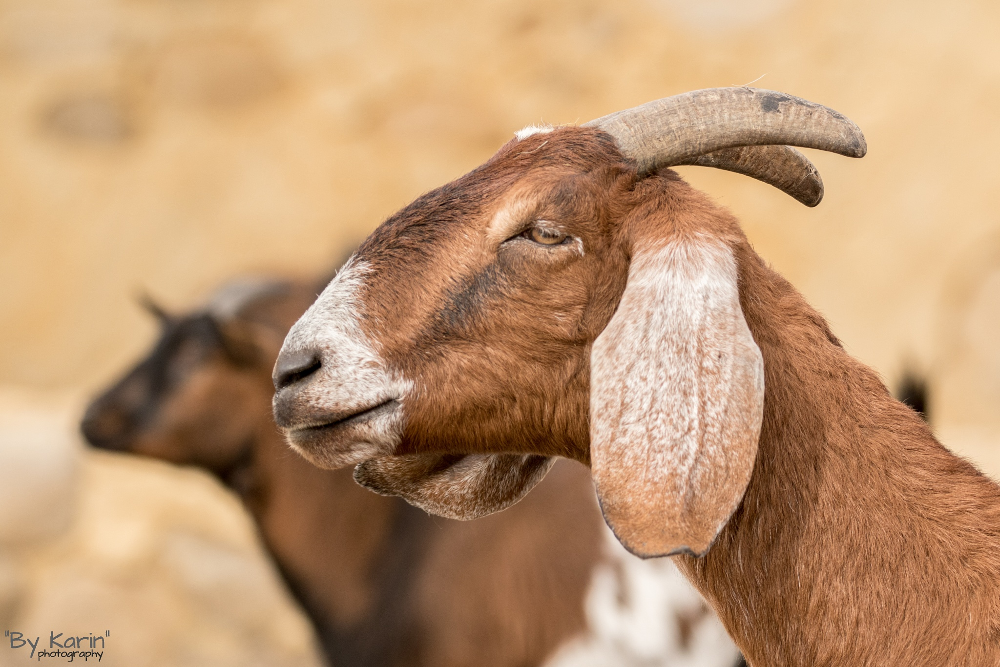 Goat @ Wildlands by ByKarinPhotography