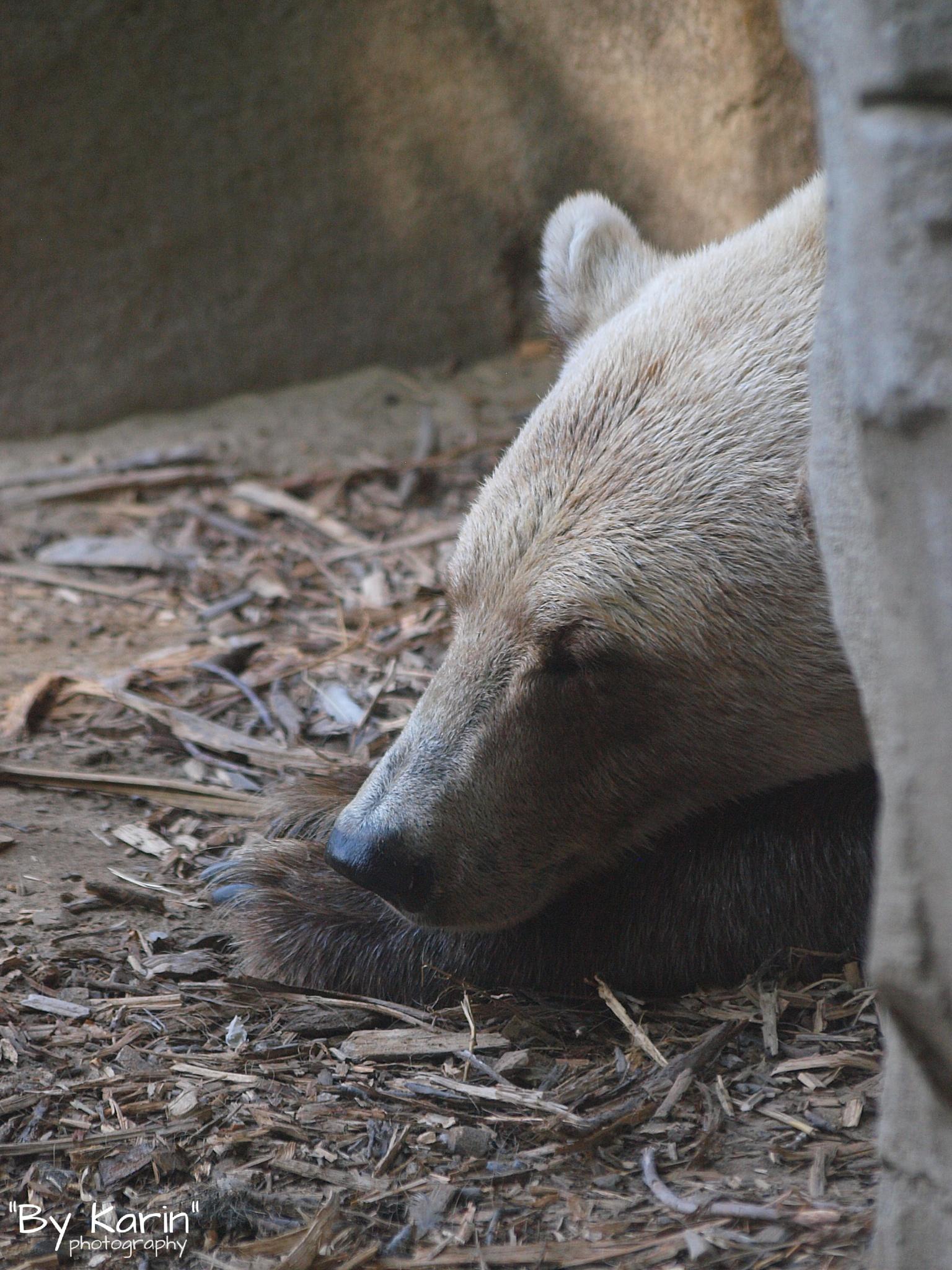 Sleeping bear  by ByKarinPhotography