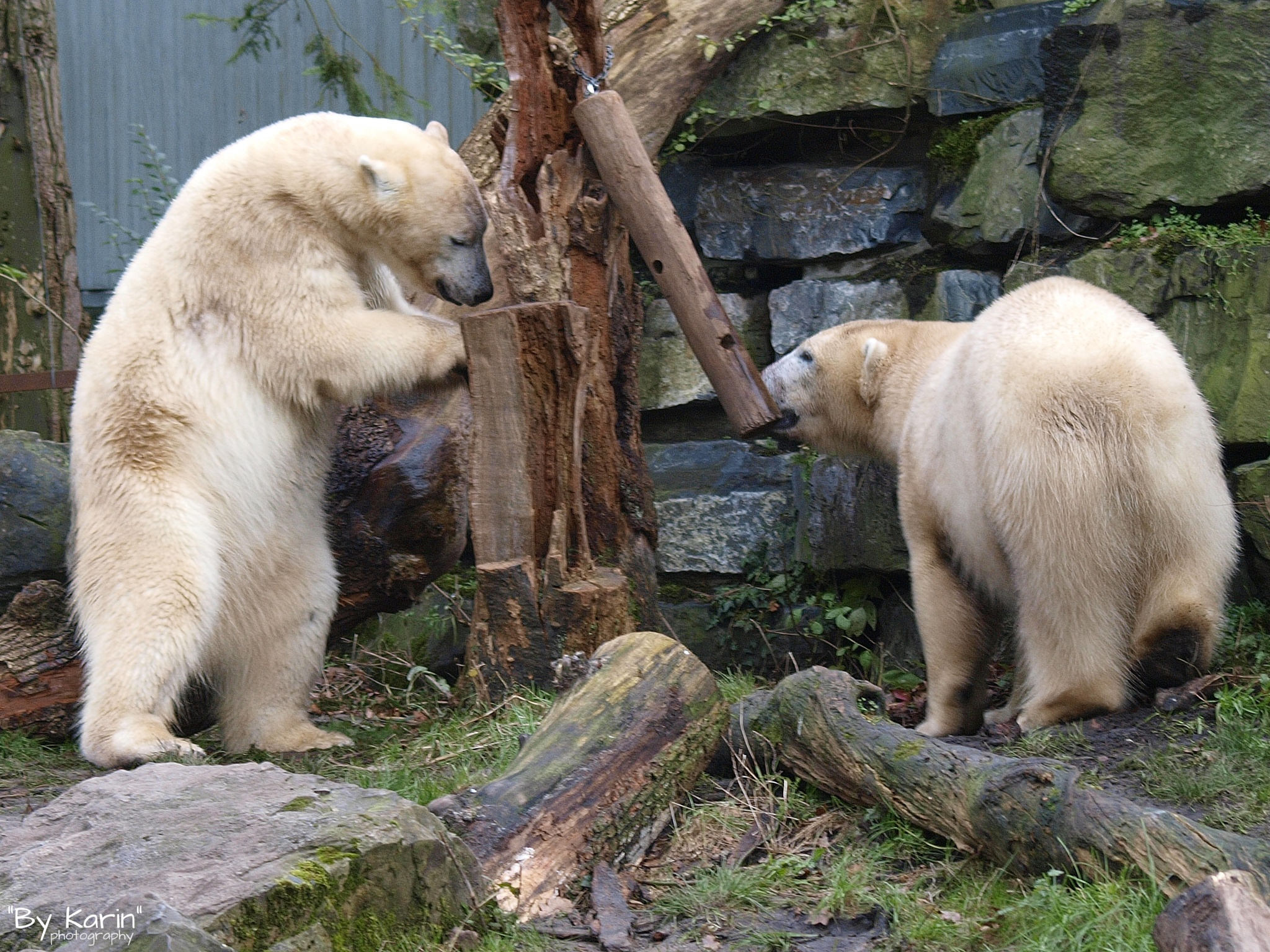 Polar bears by ByKarinPhotography