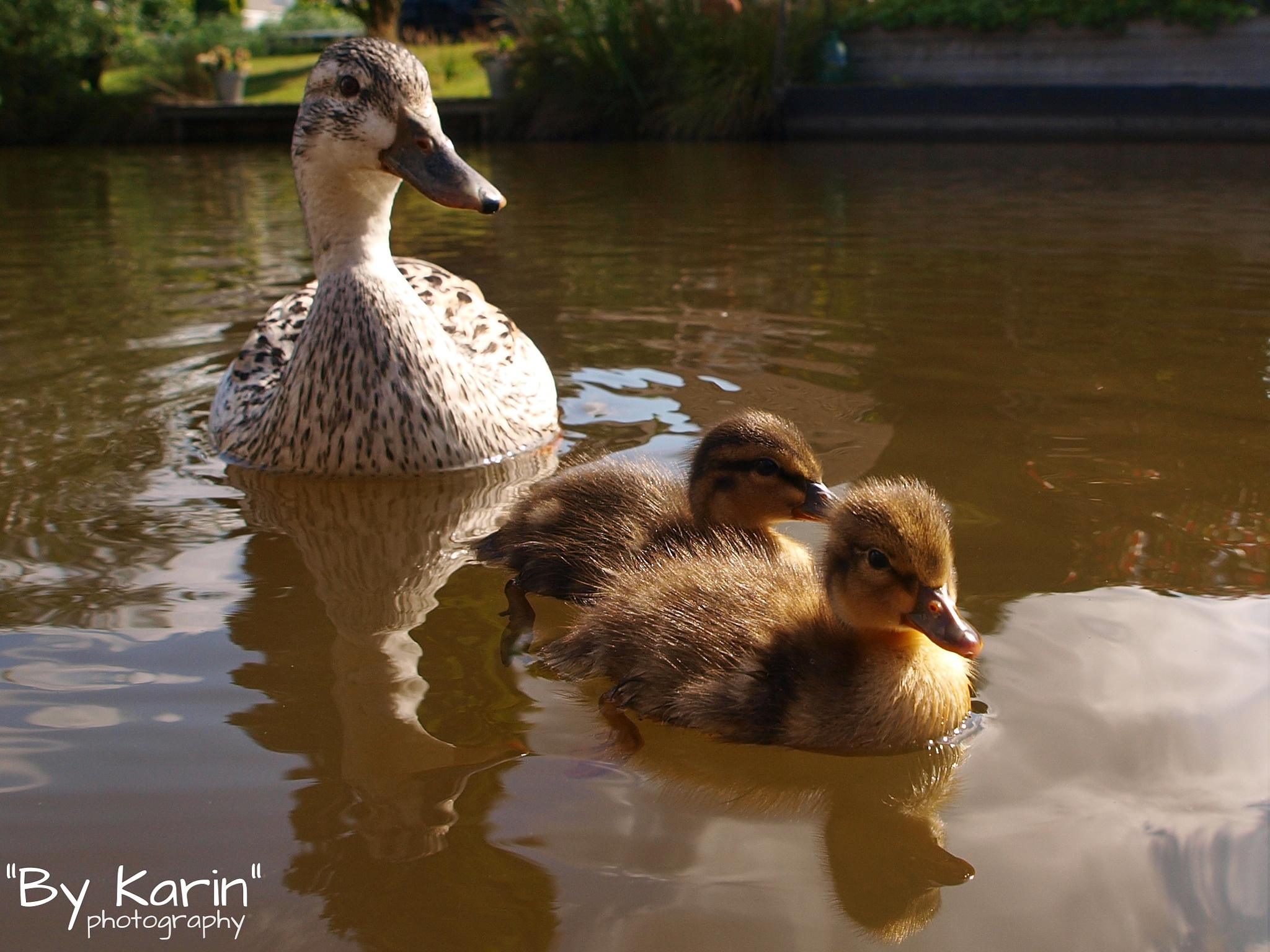 Duck with ducklings by ByKarinPhotography