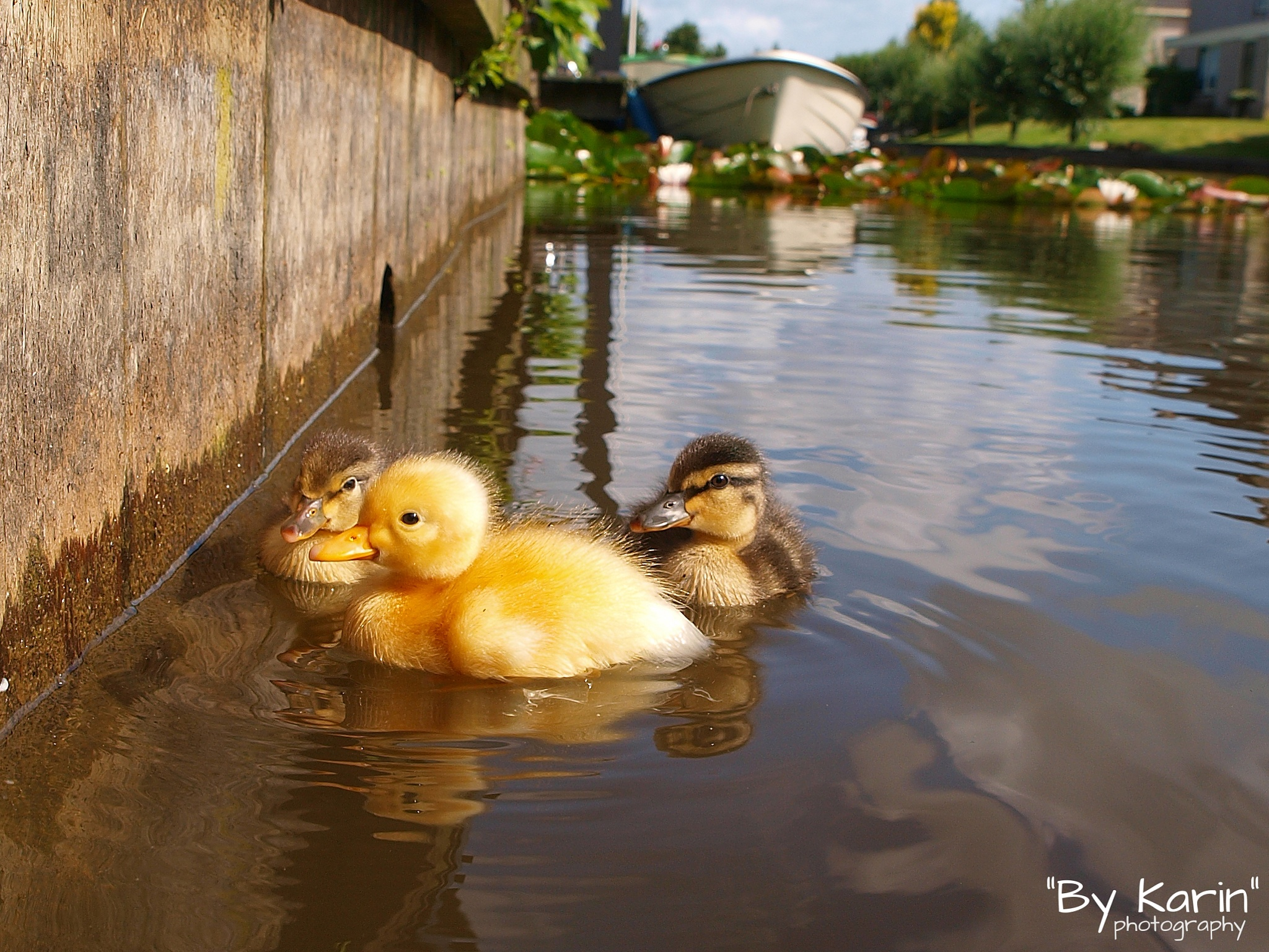 Young ducklings by ByKarinPhotography