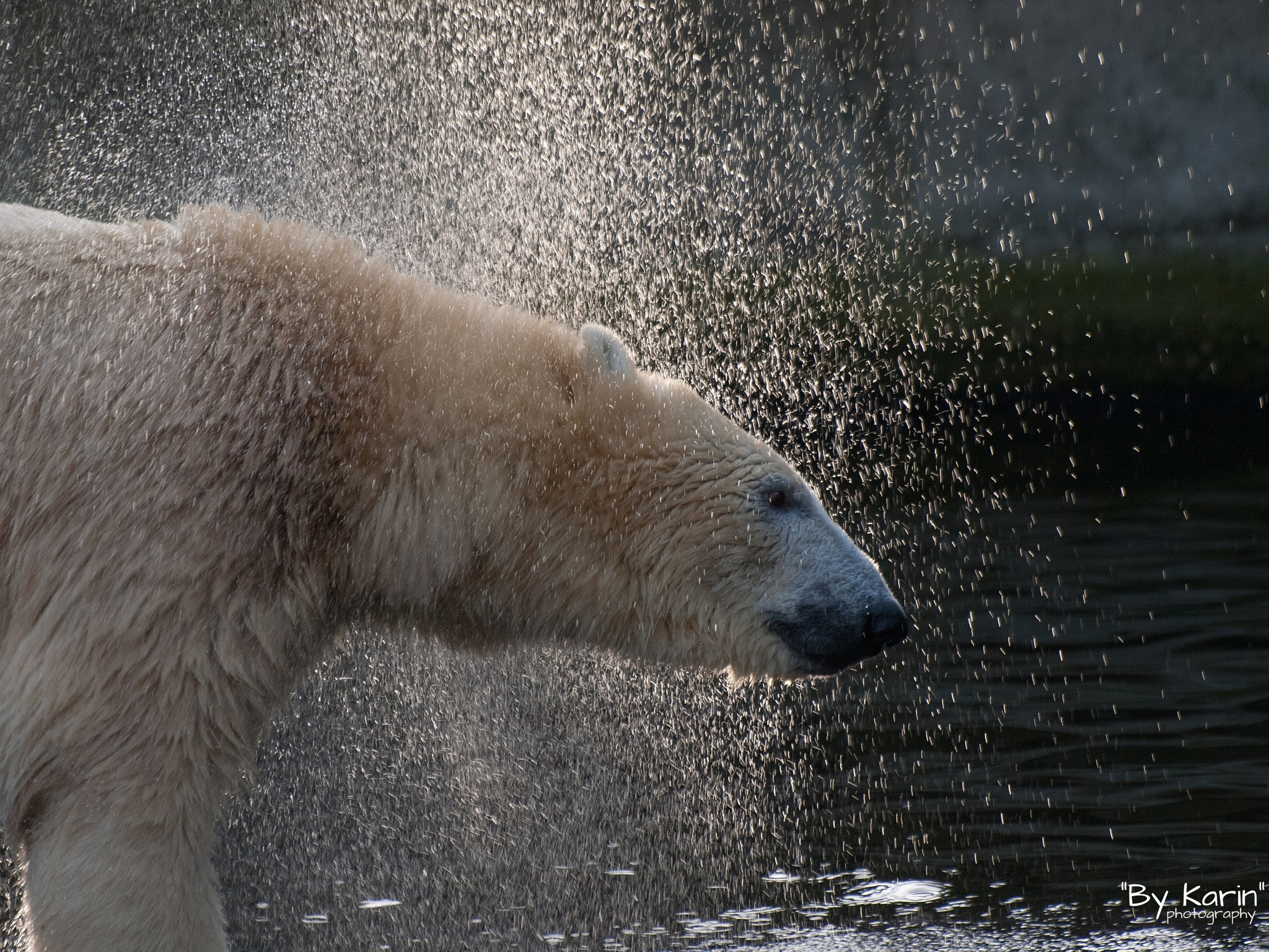 Polar bear shaken the water of by ByKarinPhotography