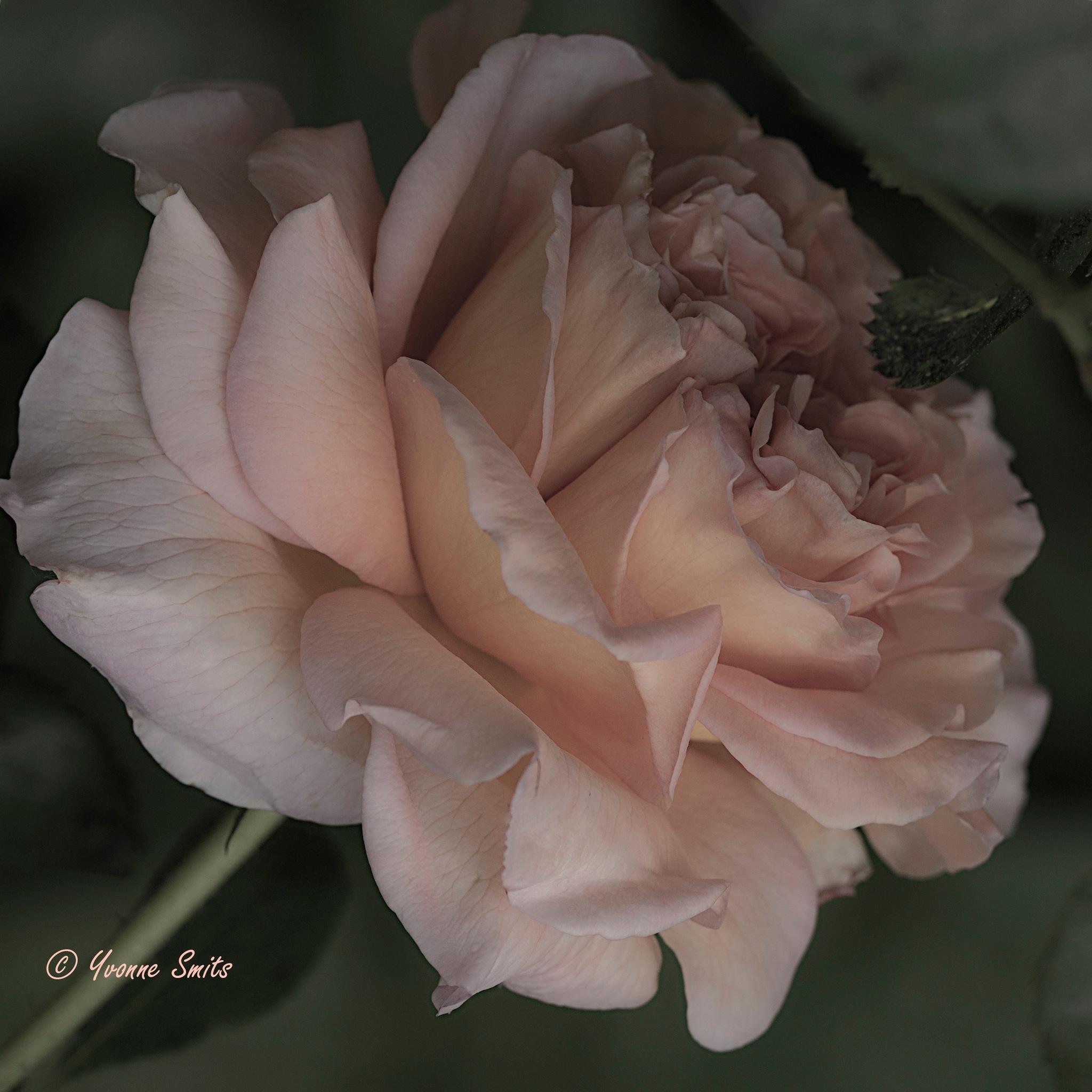 Rose  by Yvonne Smits