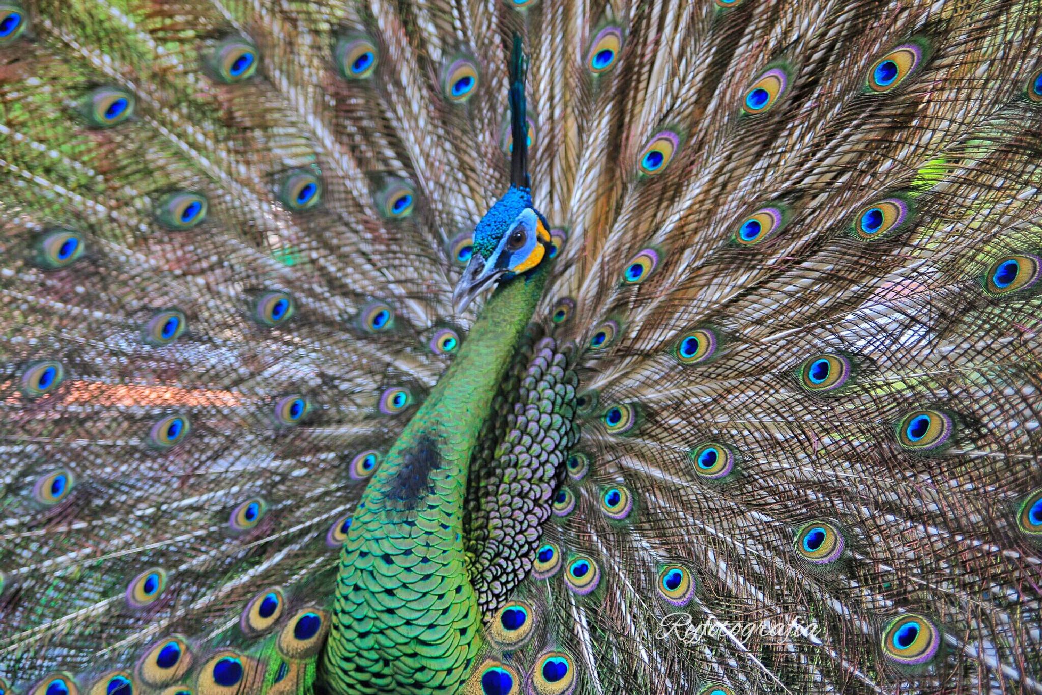 Peacock by ryudhawinata