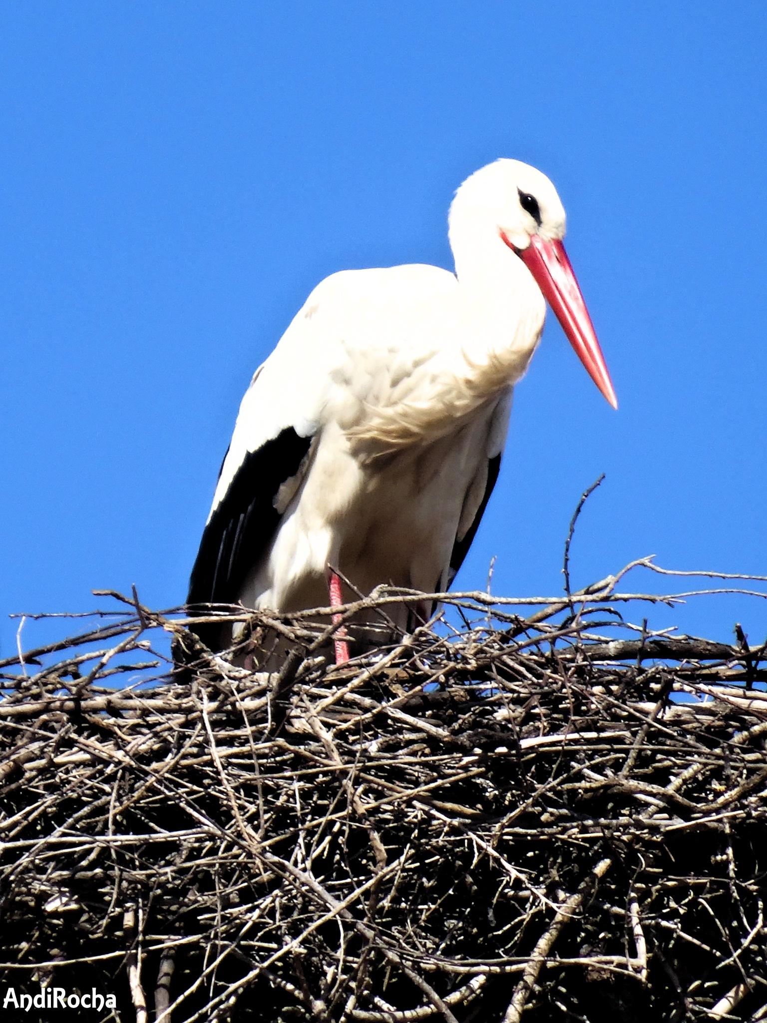 Stork by AndiRocha