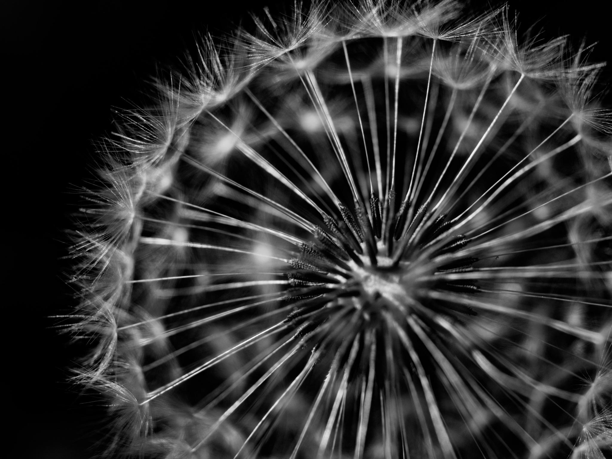 dandelion by albertstoehr